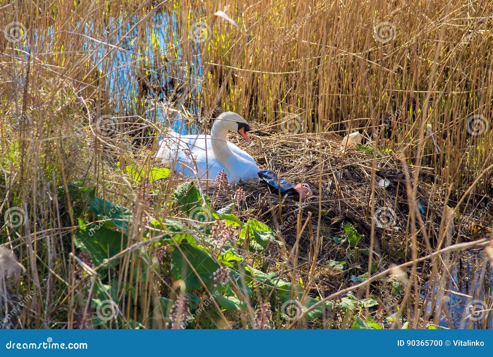 天鹅` s巢和垃圾 危机生态学环境照片污染