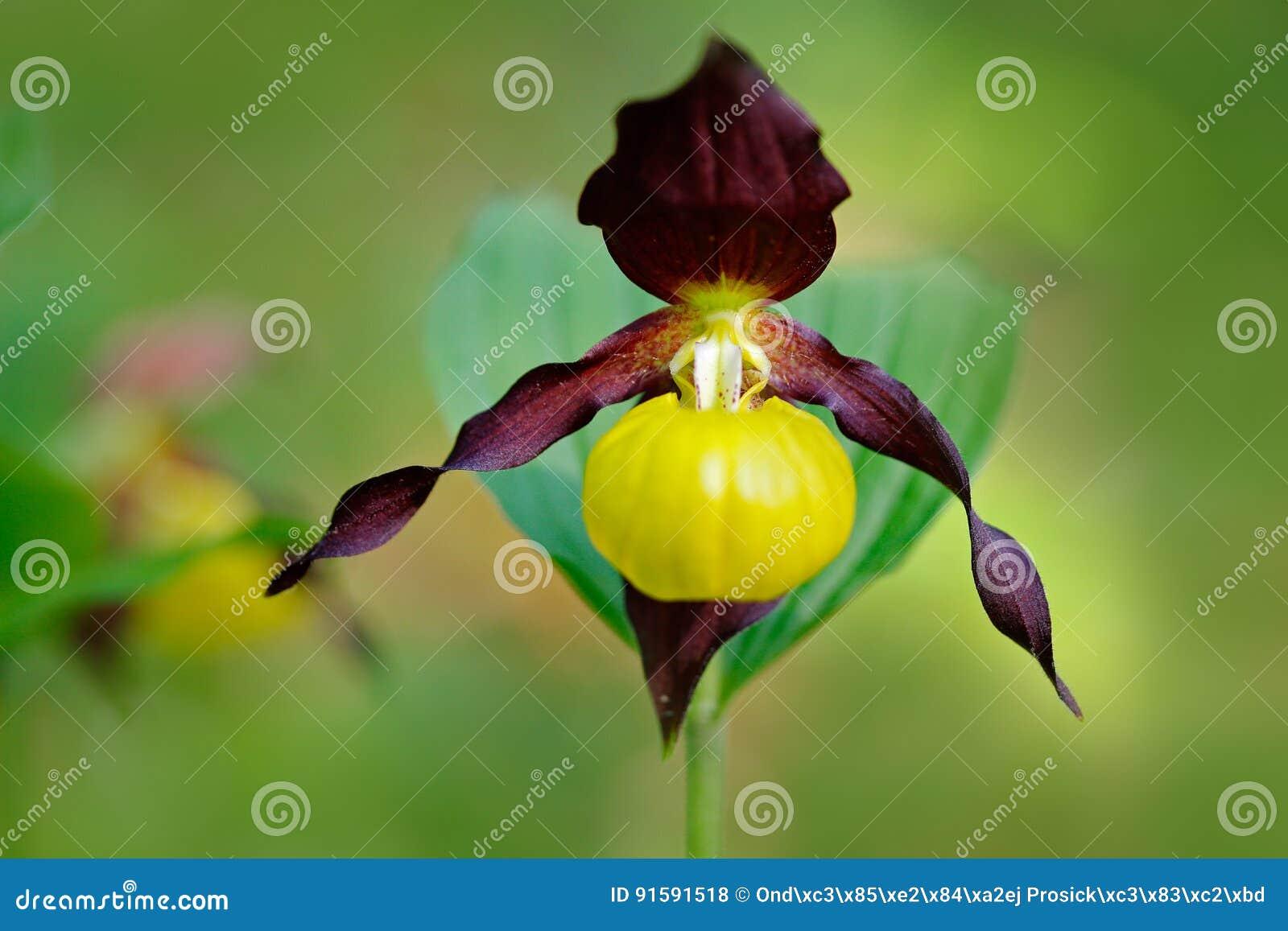 夫人` s崖壁,杓兰calceolus,开花的欧洲地球野生兰花,自然栖所,绽放,绿色c细节