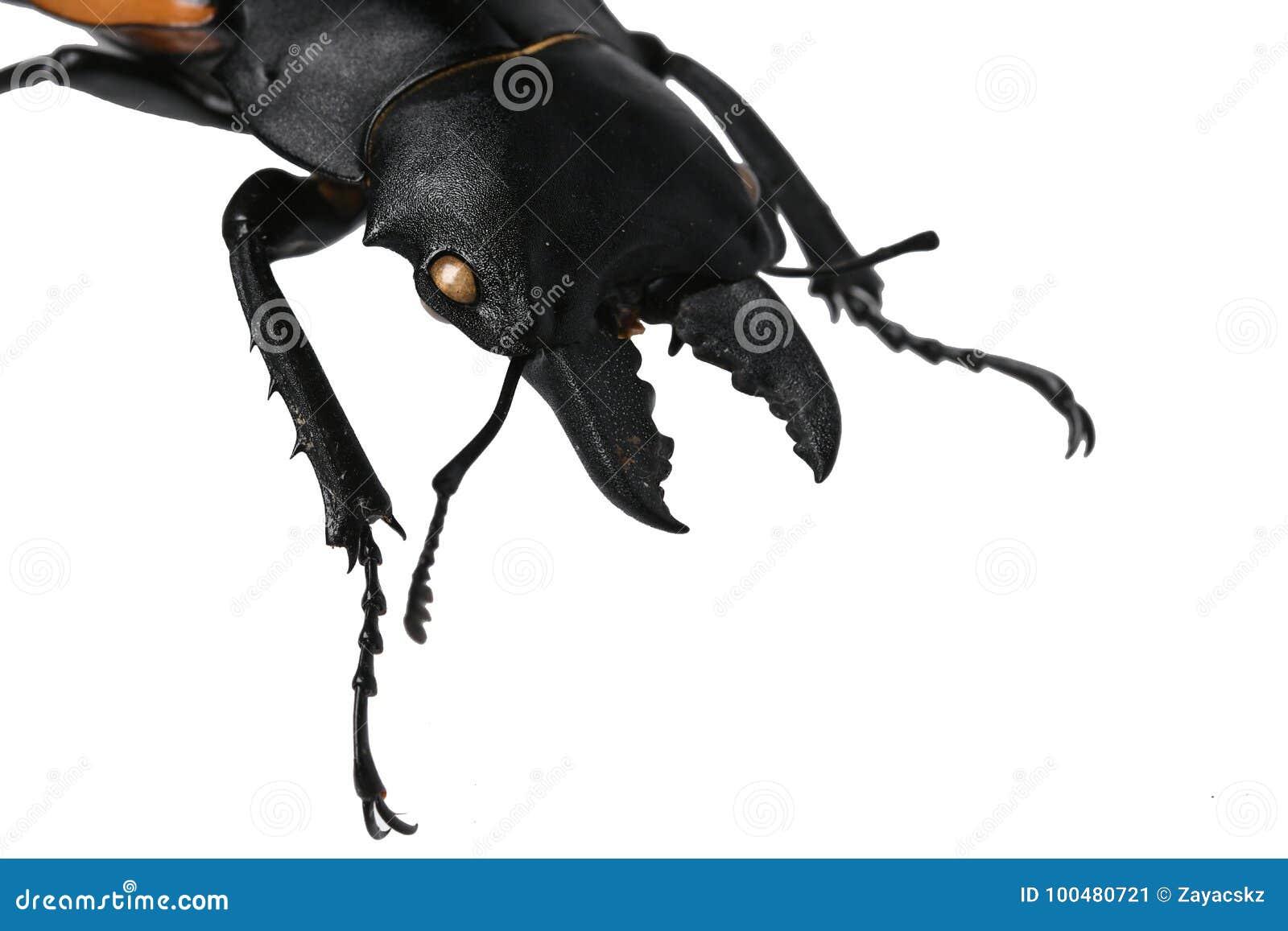 头、下颚骨和锹虫家庭锹甲科大公甲虫的前面腿,这个特殊当地人在越南,白色ba的