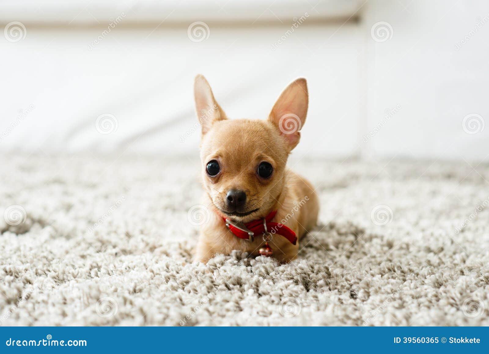 奇瓦瓦狗在客厅