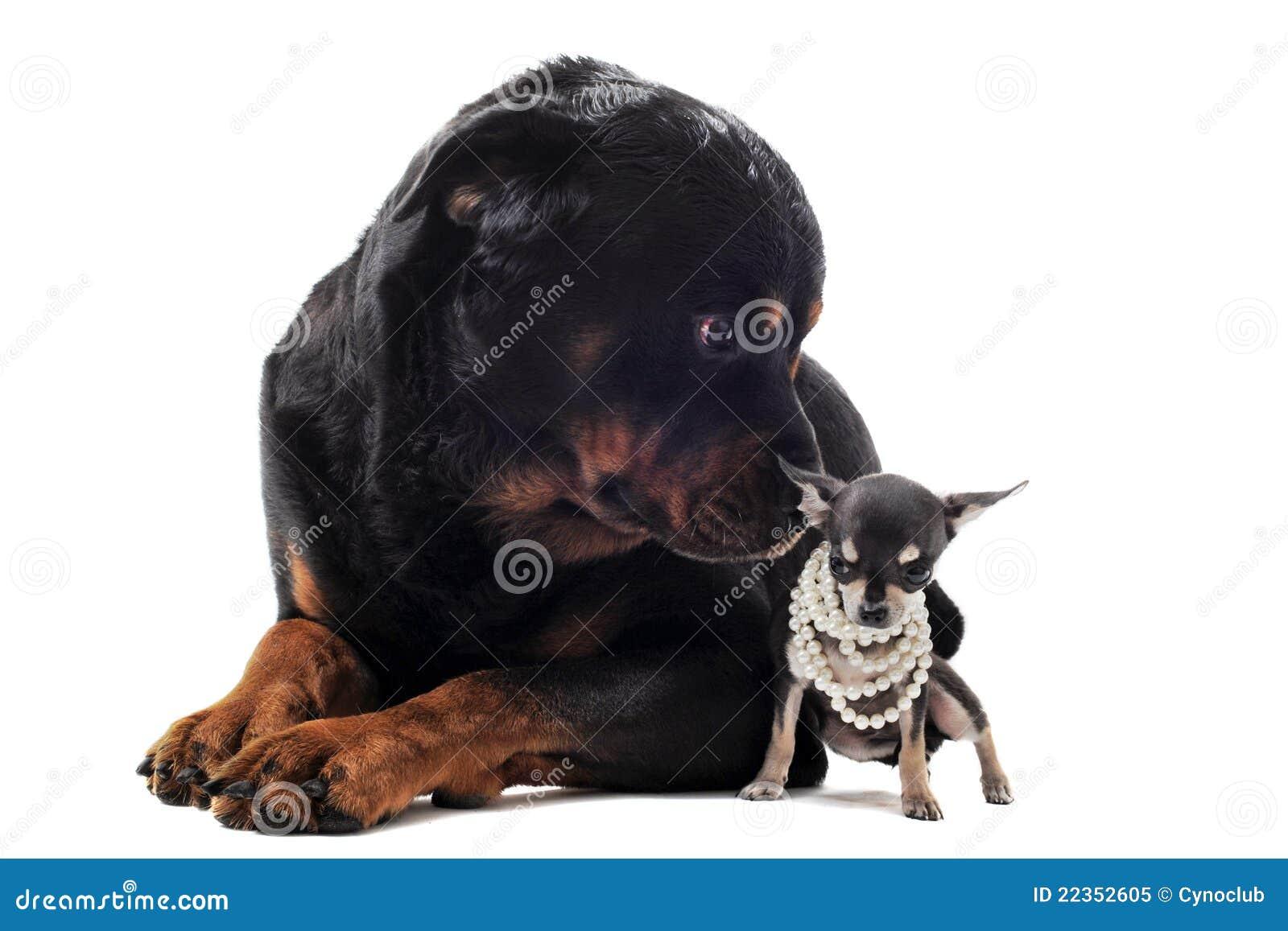 奇瓦瓦狗rottweiler
