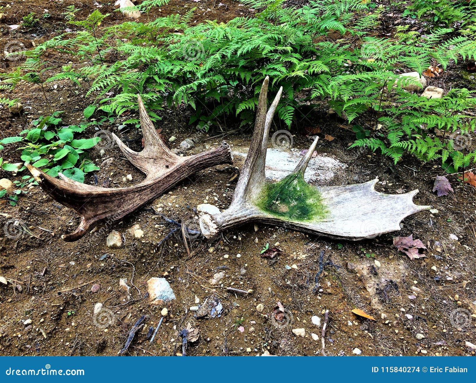 套从阿尔根金族公园的麋垫铁