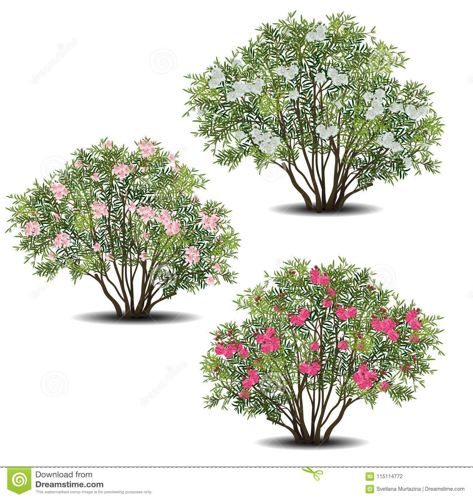 套夹竹桃与绿色叶子和花的夹竹桃灌木
