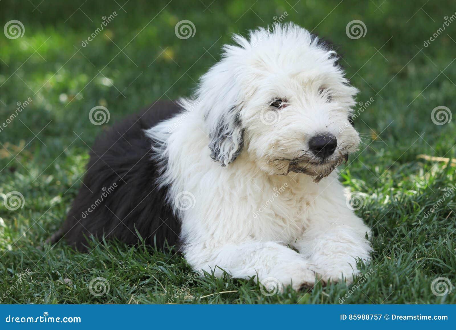 奥利维亚,一只母老英国护羊狗小狗