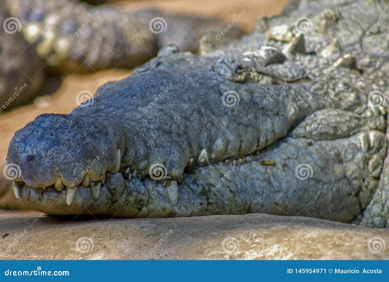 奥里诺科河鳄鱼的头