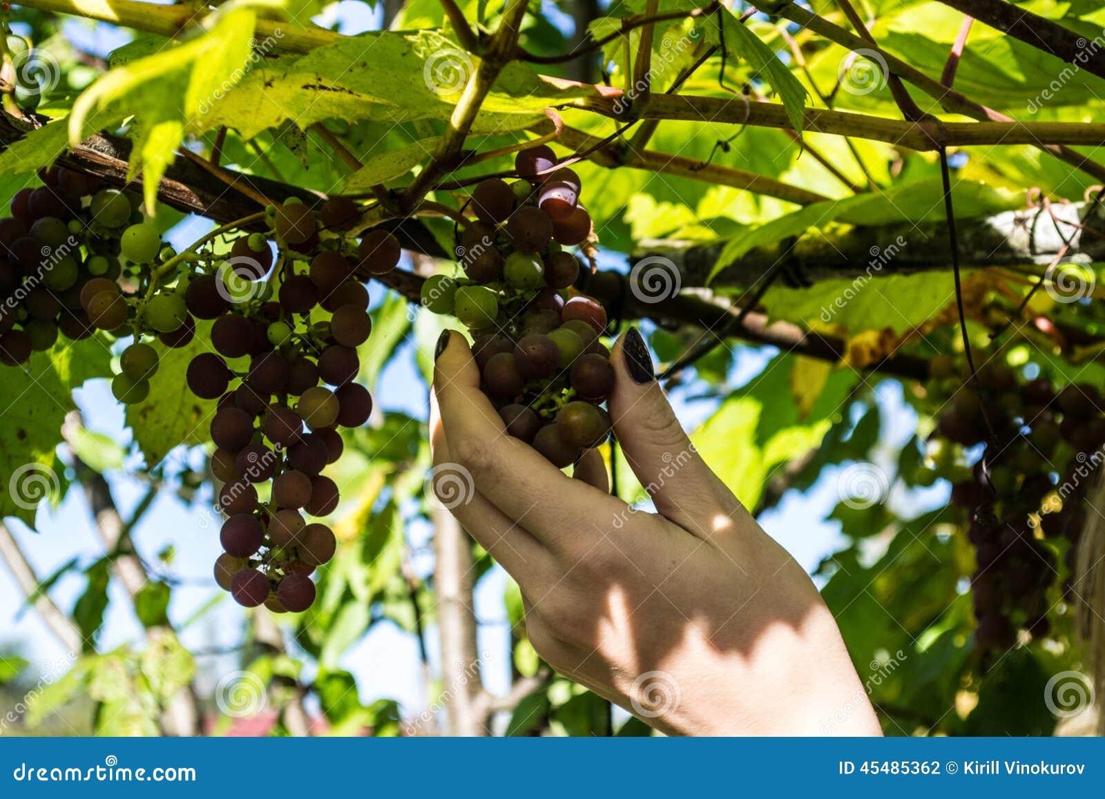 女孩和葡萄