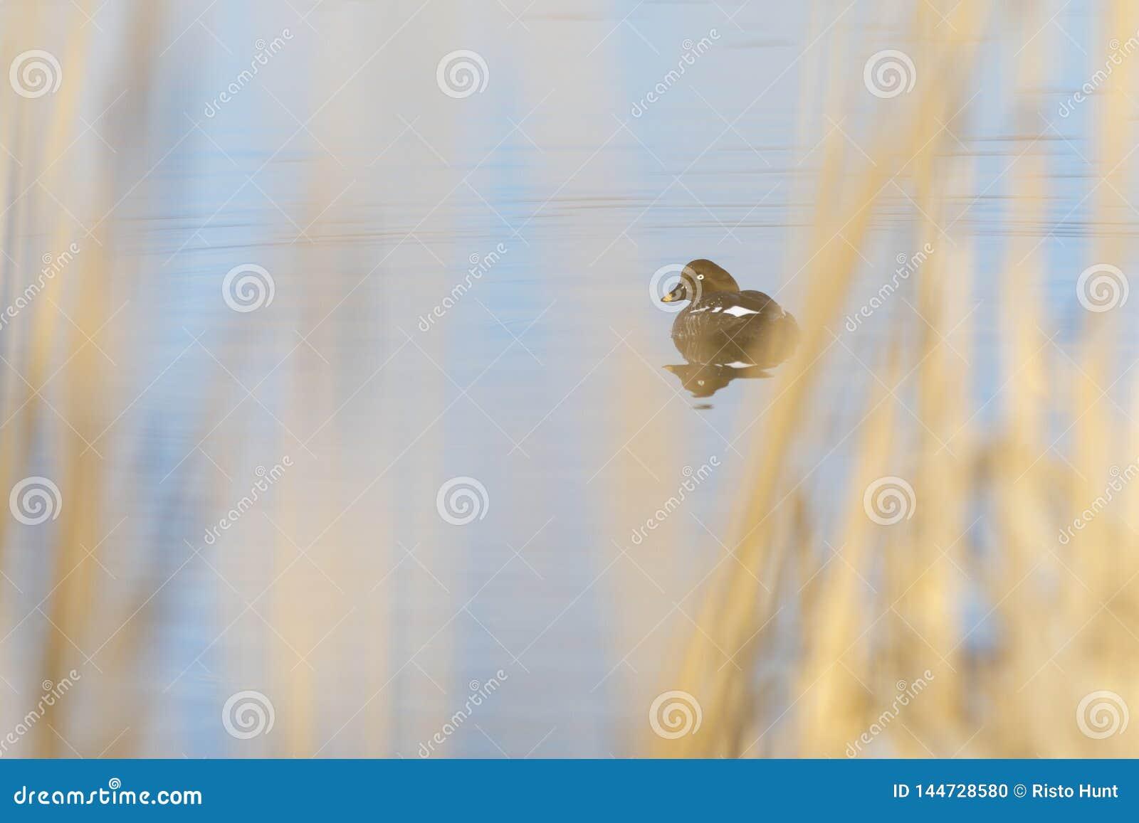 女性手推车的白颊鸭游泳在湖