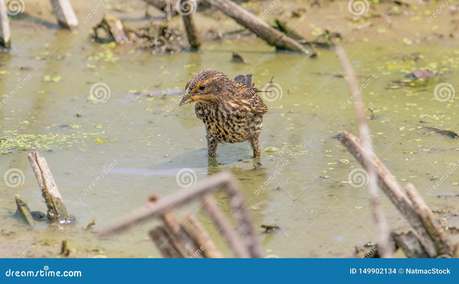 女性美洲红翼鸫身分在泥泞的泥泞的水域中在明尼苏达河的洪泛区