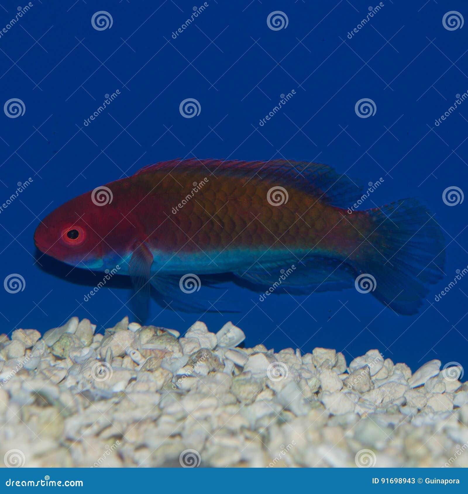 女性Blueheaded神仙的濑鱼Cirrhilabrus cyanopleura