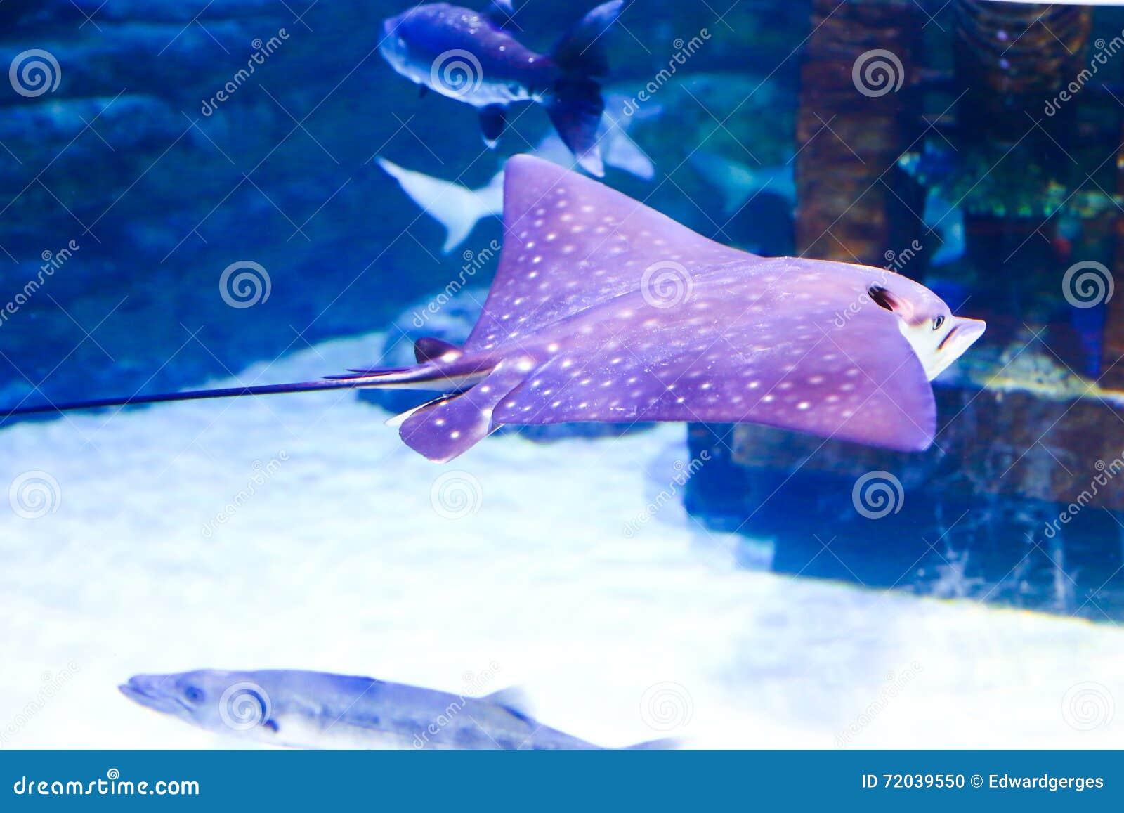 女用蛤蜊birostris鱼-相框如何用披巾壳v蛤蜊飞鱼图片