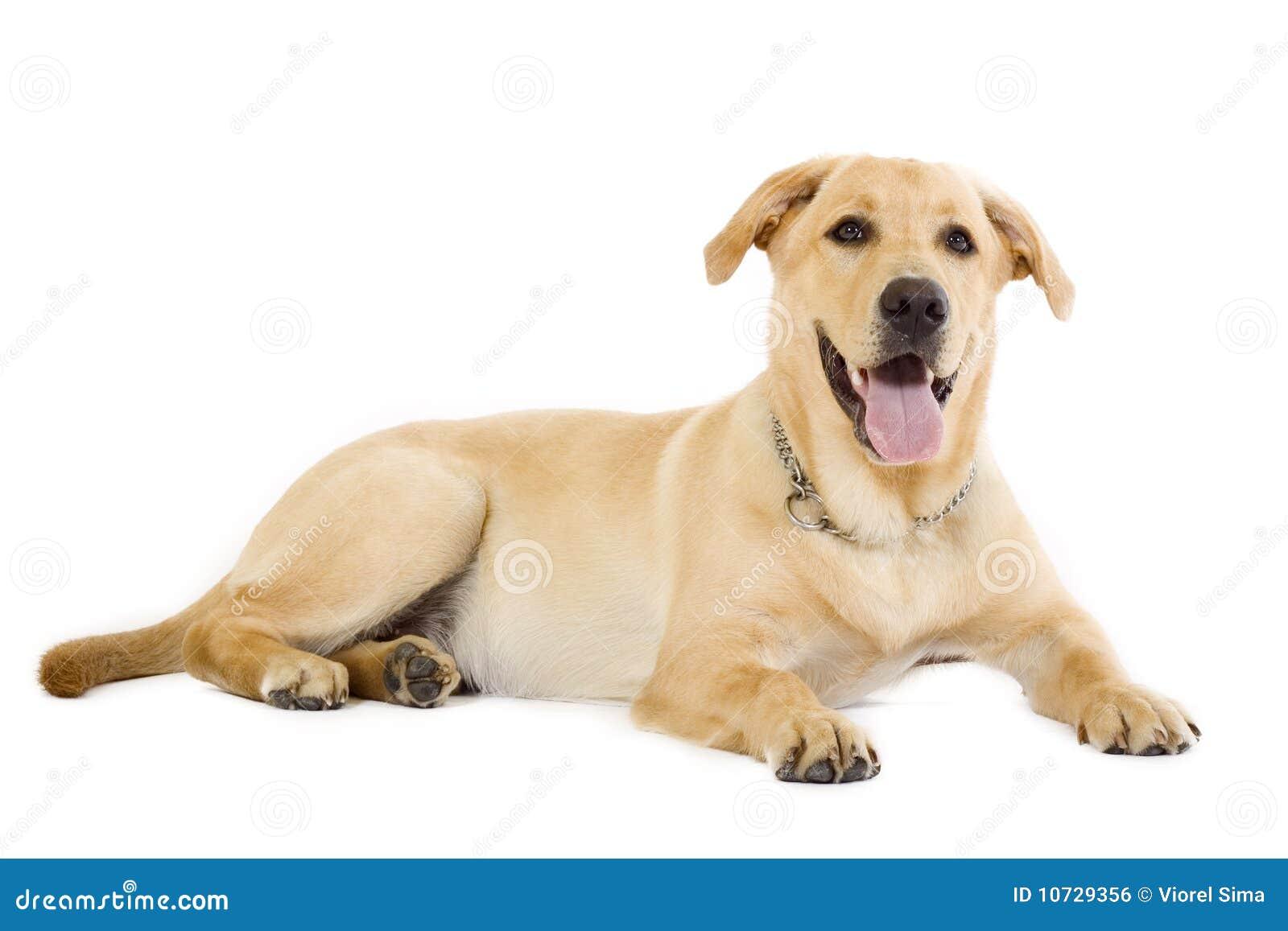 农夫色人和狗_奶油色拉布拉多小狗猎犬