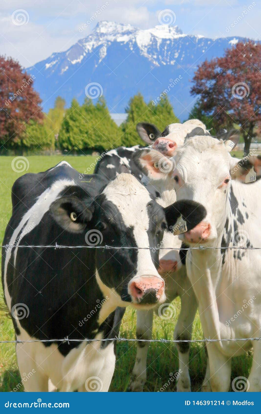 奶牛和风景牧场地
