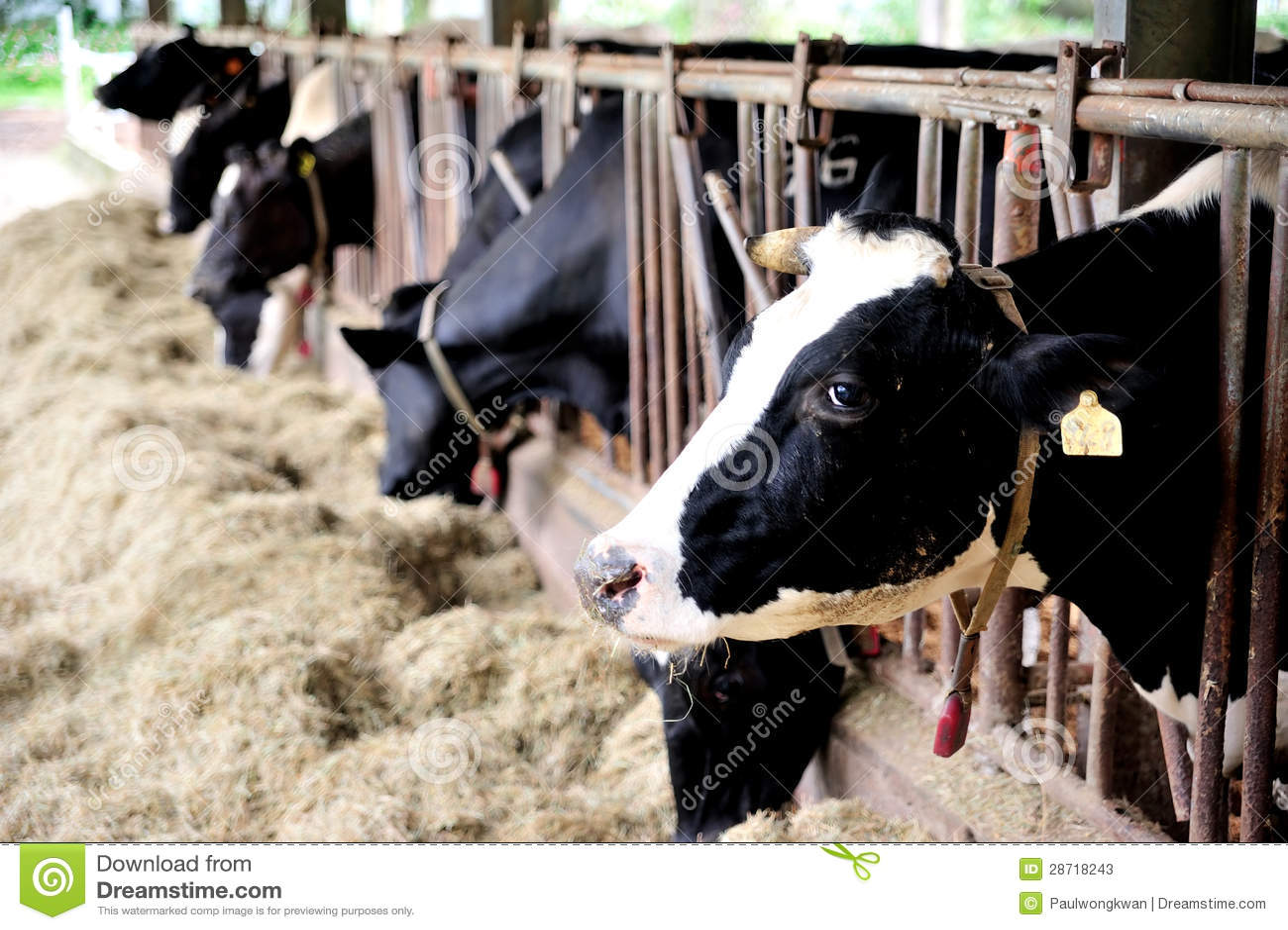 大奶牛bt_奶牛