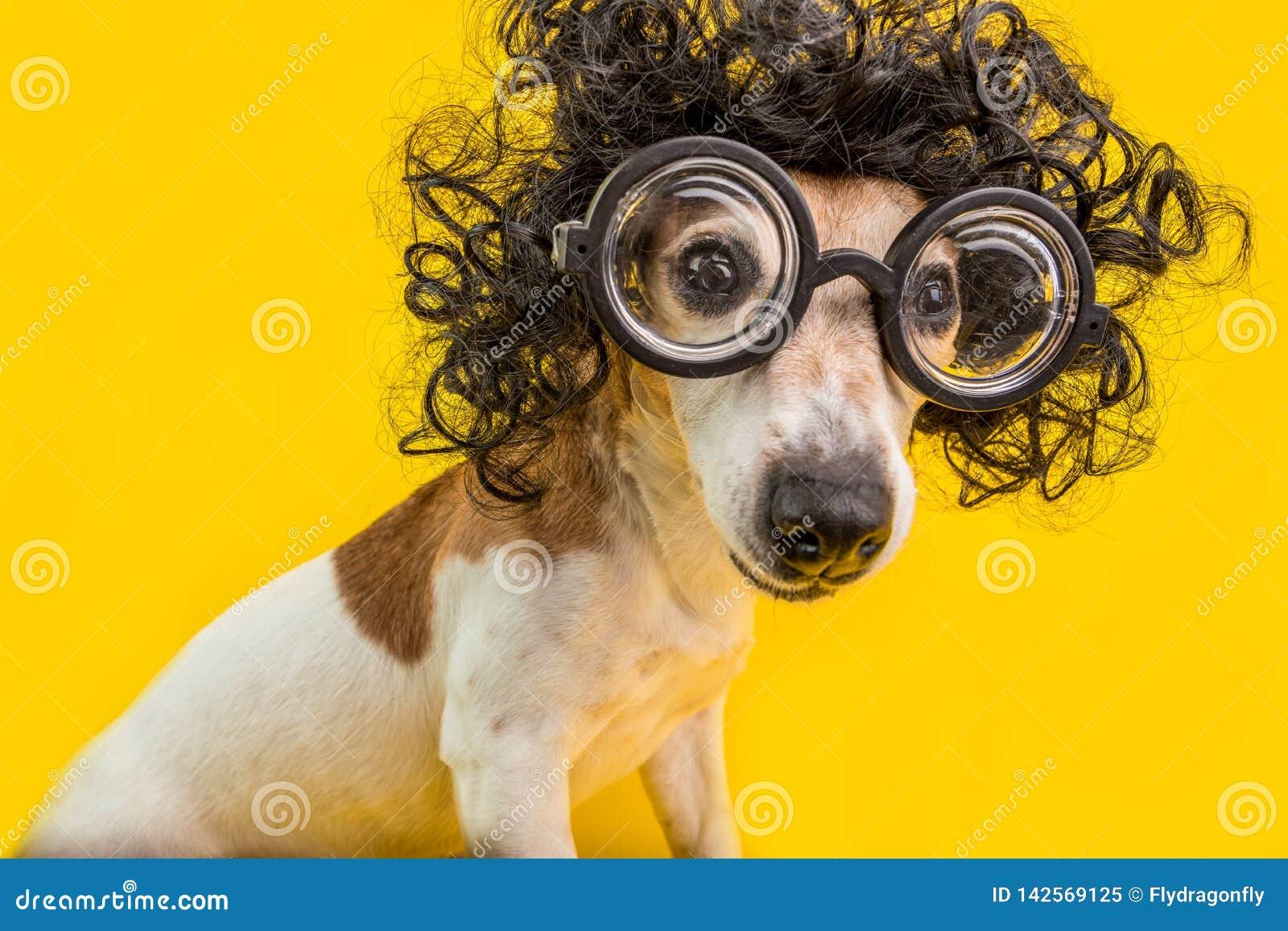 好奇在圆的教授玻璃和卷曲黑非洲的样式发型的书呆子聪明的狗面孔 教育 黄色