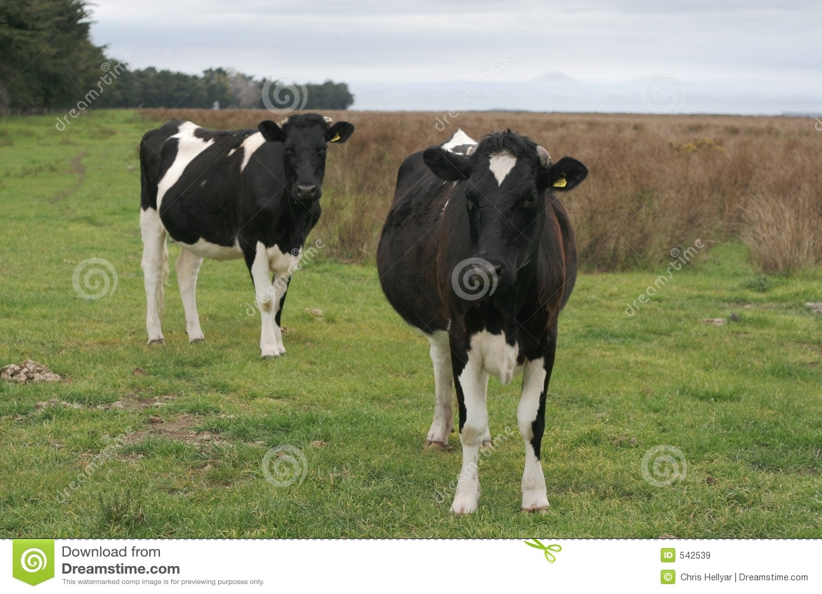 Download 好奇小牝牛 库存图片. 图片 包括有 户外, 牛奶店, 牛奶, 问题的, 坎特伯雷, 种田, 母牛, 生活方式 - 542539