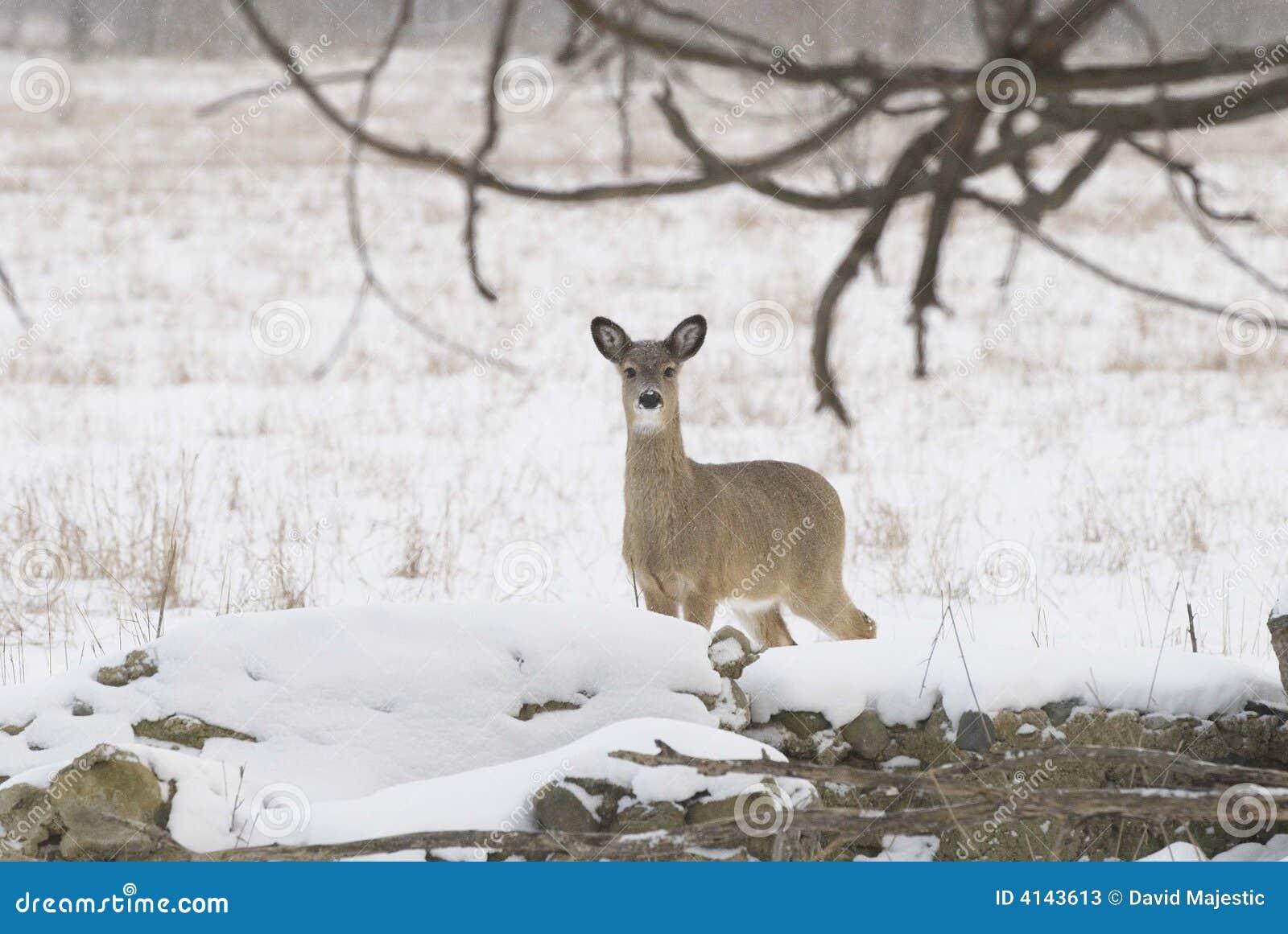 好奇白尾鹿
