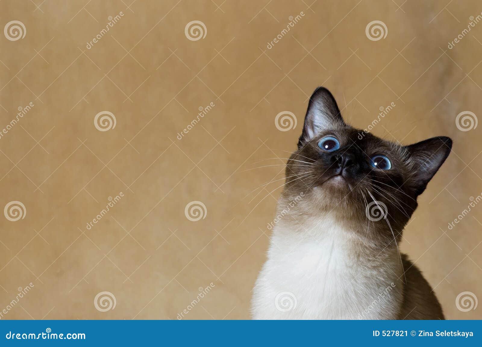 Download 好奇的猫 库存图片. 图片 包括有 眼睛, 敌意, 泰国, 好奇, 交配动物者, 婴孩, 逗人喜爱, 经典, 小猫 - 527821