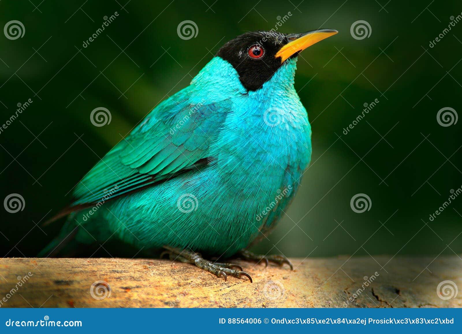 从好的动物热带森林特写镜头画象的唐纳雀在栖所 美丽的鸟细节  绿色Honeycreeper,绿萤石