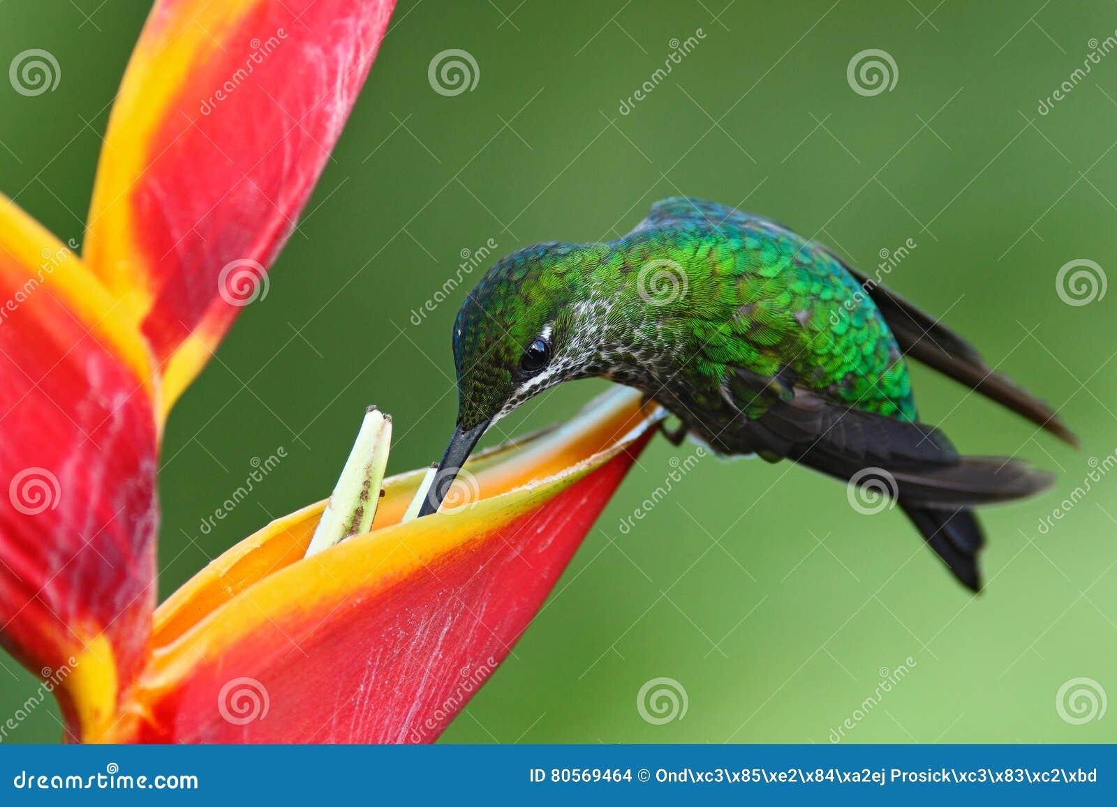 好的蜂鸟绿色加冠了精采, Heliodoxa jacula,与美丽的红色花 吮花蜜的鸟 从na的野生生物场面