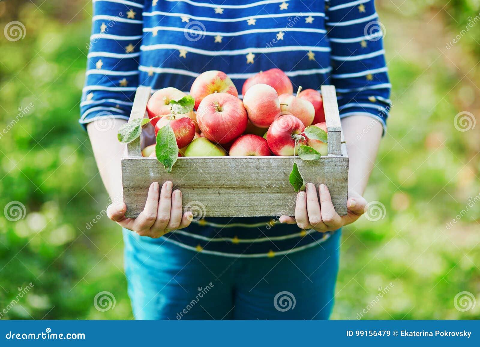 妇女递拿着一个条板箱用在农场的新鲜的成熟苹果