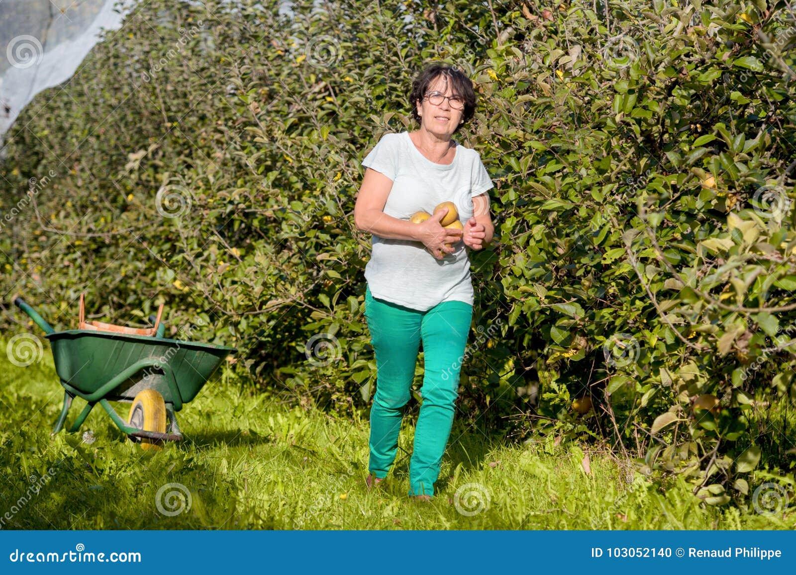 妇女采摘苹果在果树园