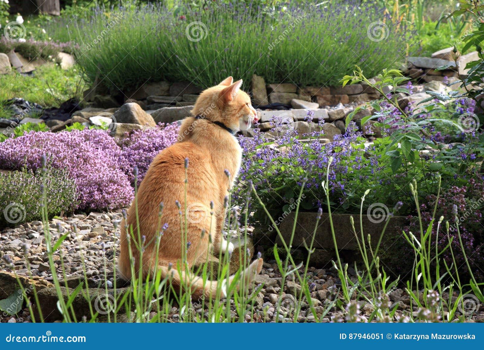 姜猫和猫薄荷