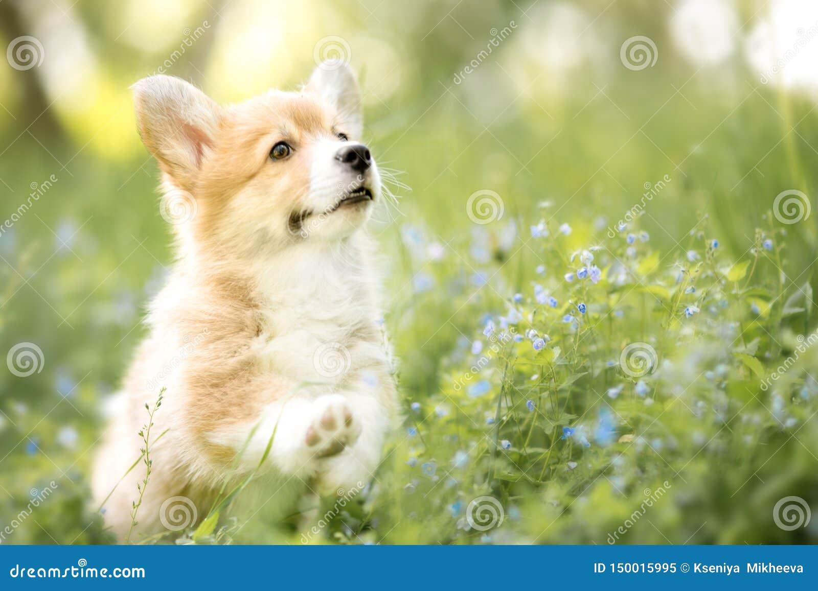 威尔士小狗在秋天或夏天花的彭布罗克角小狗