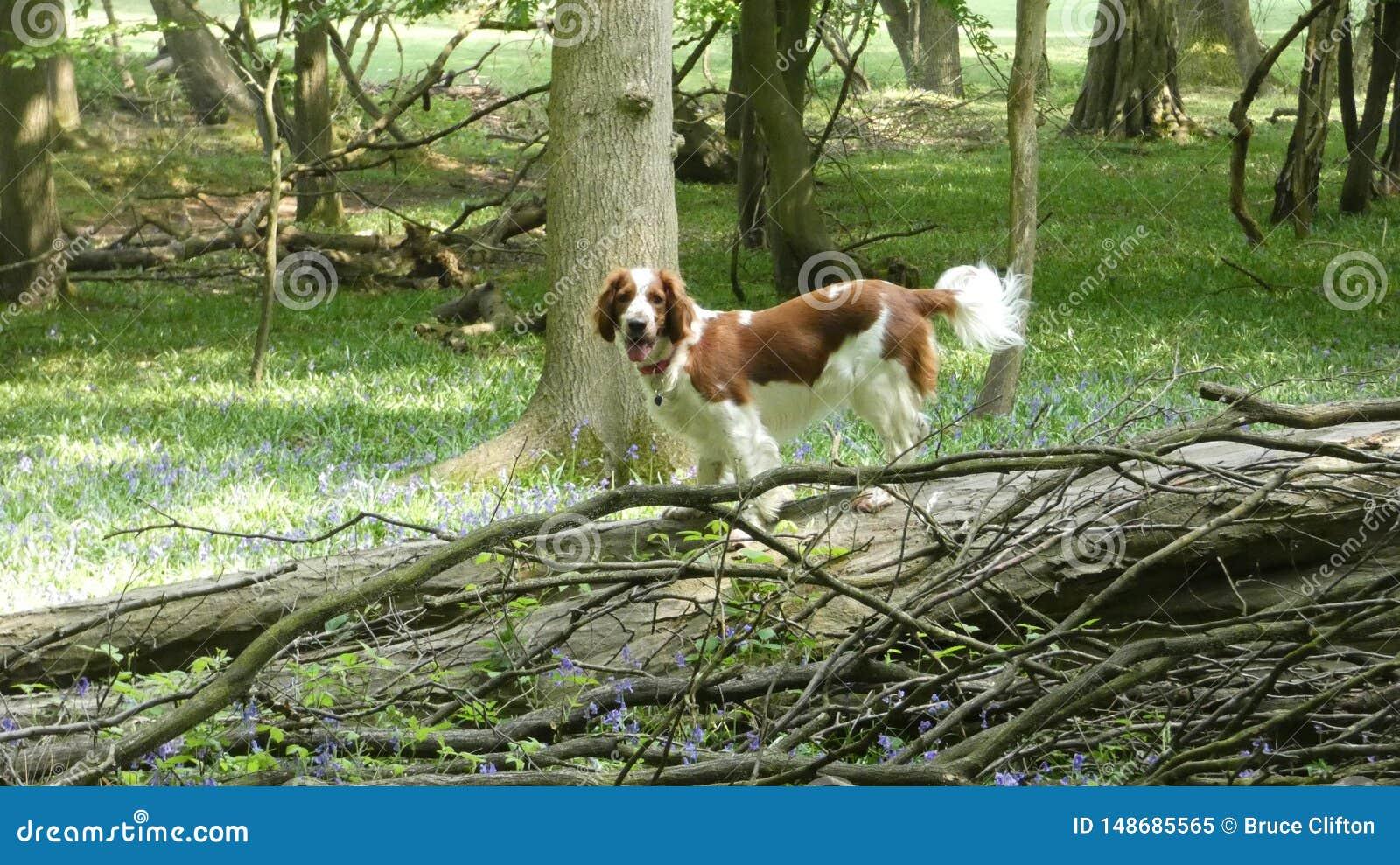 威尔士爬树的猎Z