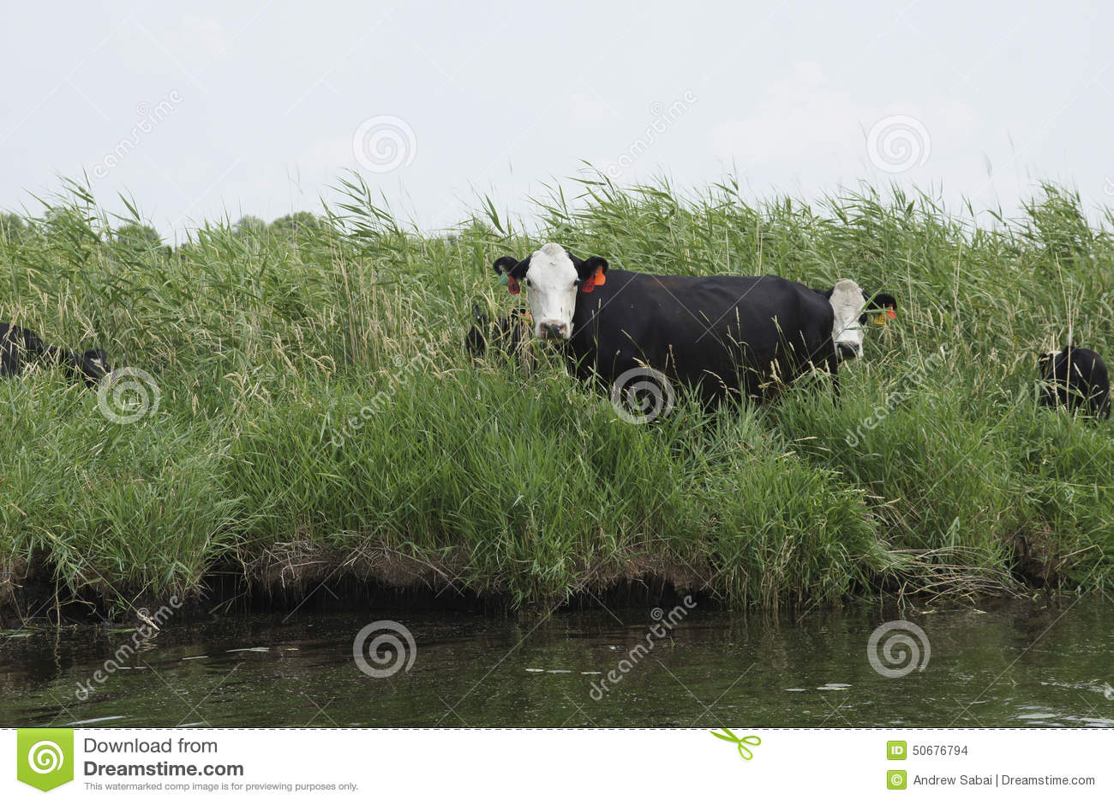 Download 威胁河 库存照片. 图片 包括有 母牛, 肥料, 营养素, 氮气, 亚磷, 吃草, 污染, 沼泽地 - 50676794