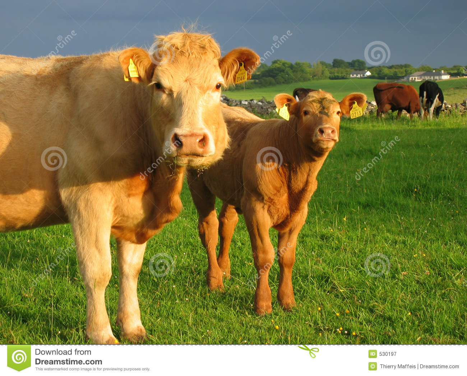 Download 威胁爱尔兰语 库存图片. 图片 包括有 小牛, 肥沃, 贝多芬, 国内, 横向, 交配动物者, 爱尔兰语, 问题的 - 530197