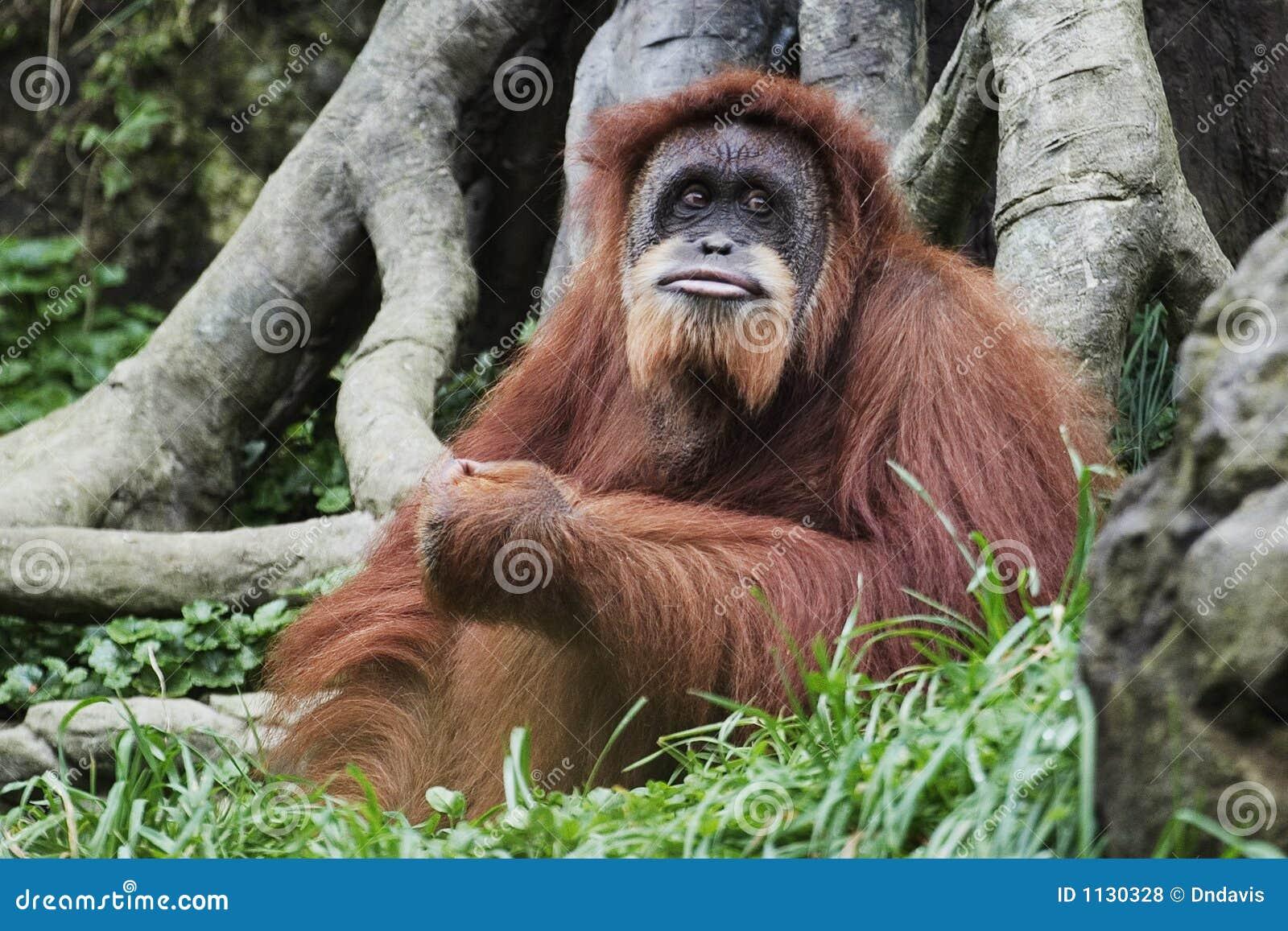 婆罗洲印度尼西亚猩猩类人猿pygmaeus