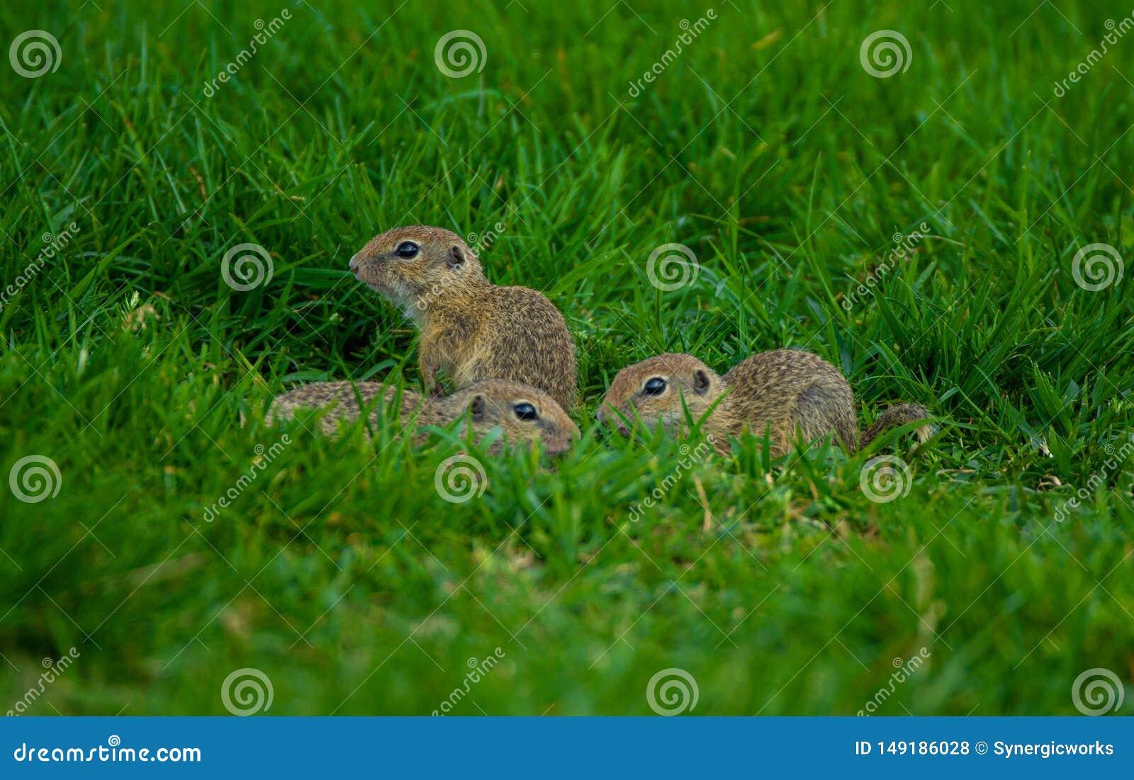 婴孩地鼠接近的射击坐草
