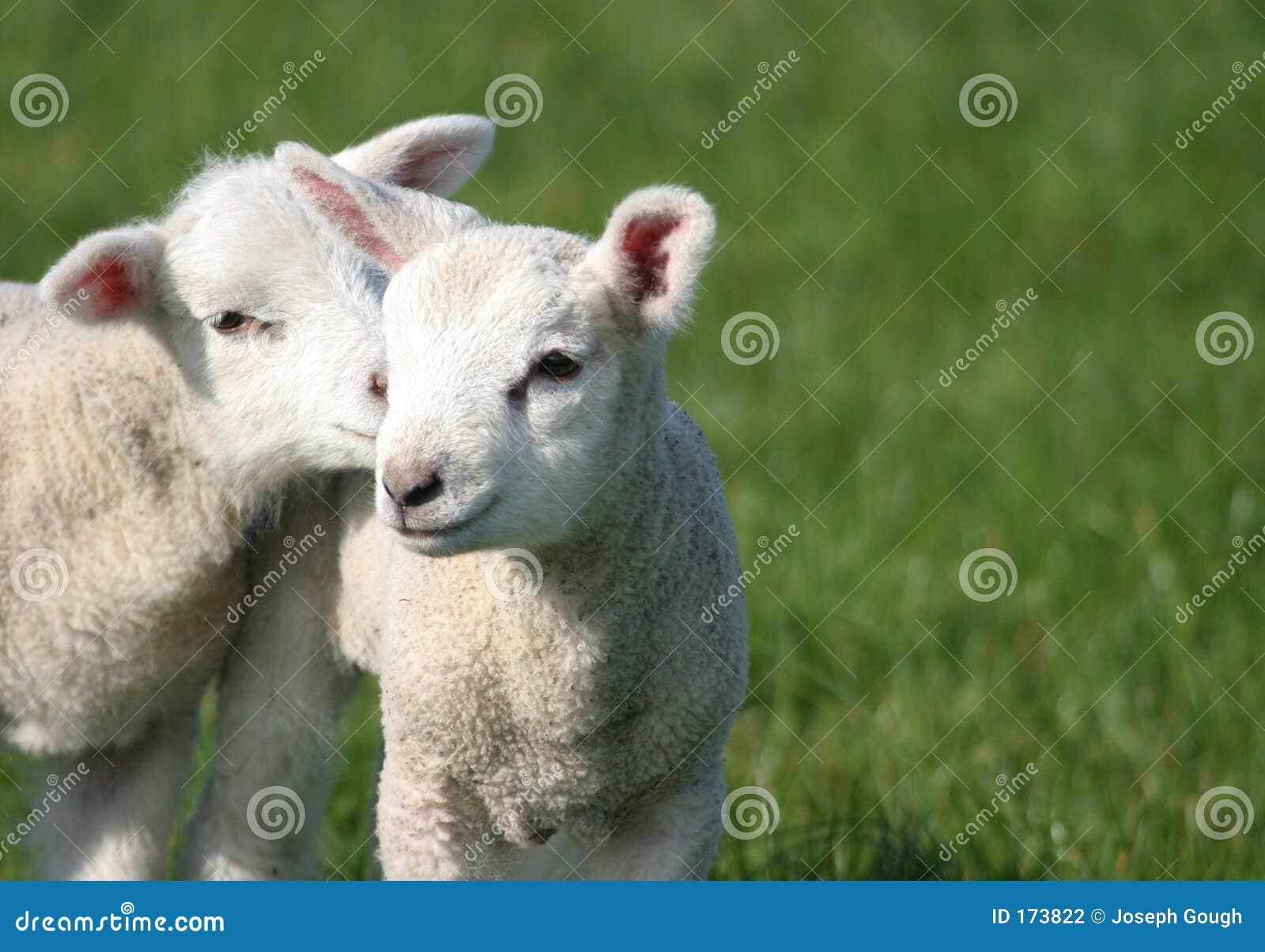 婴孩逗人喜爱的域产小羊年轻人