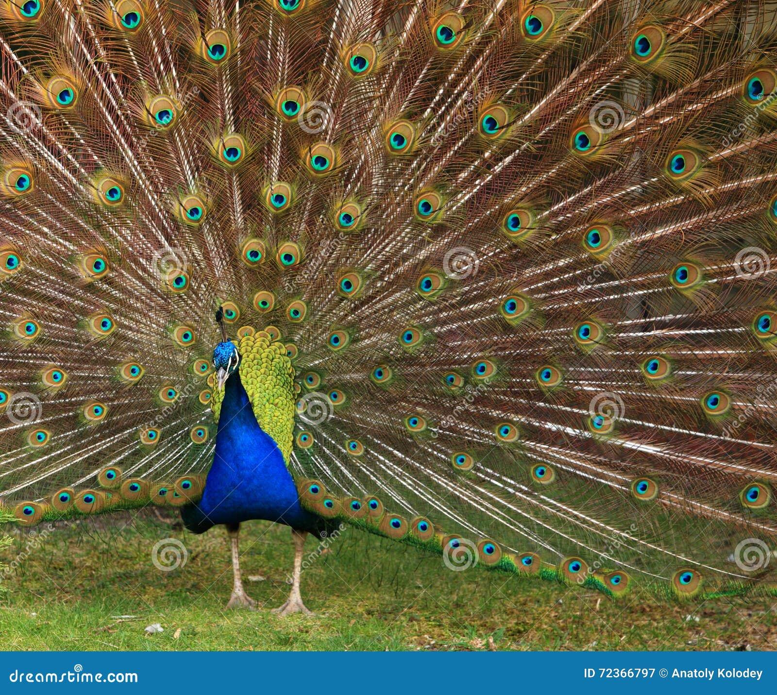孔雀与五颜六色的尾巴的en面孔特写镜头