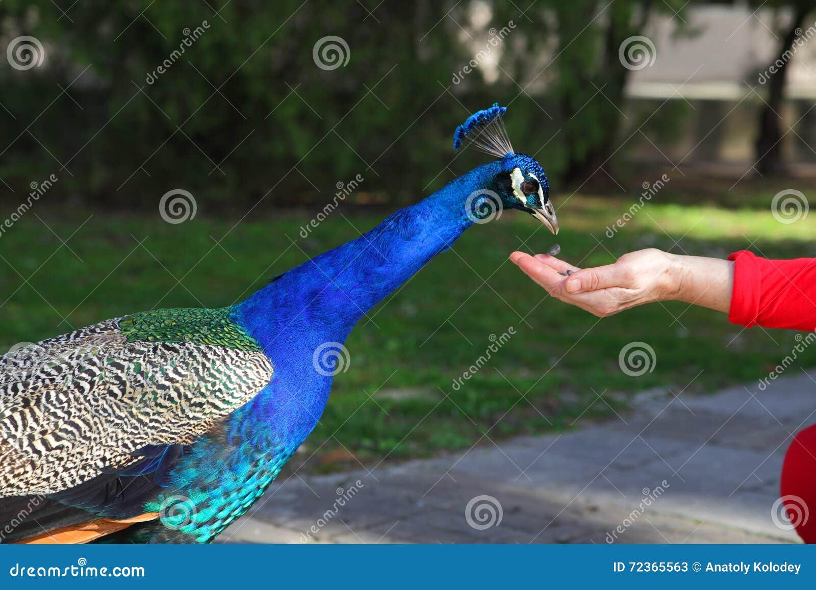 孔雀从手的采摘种子