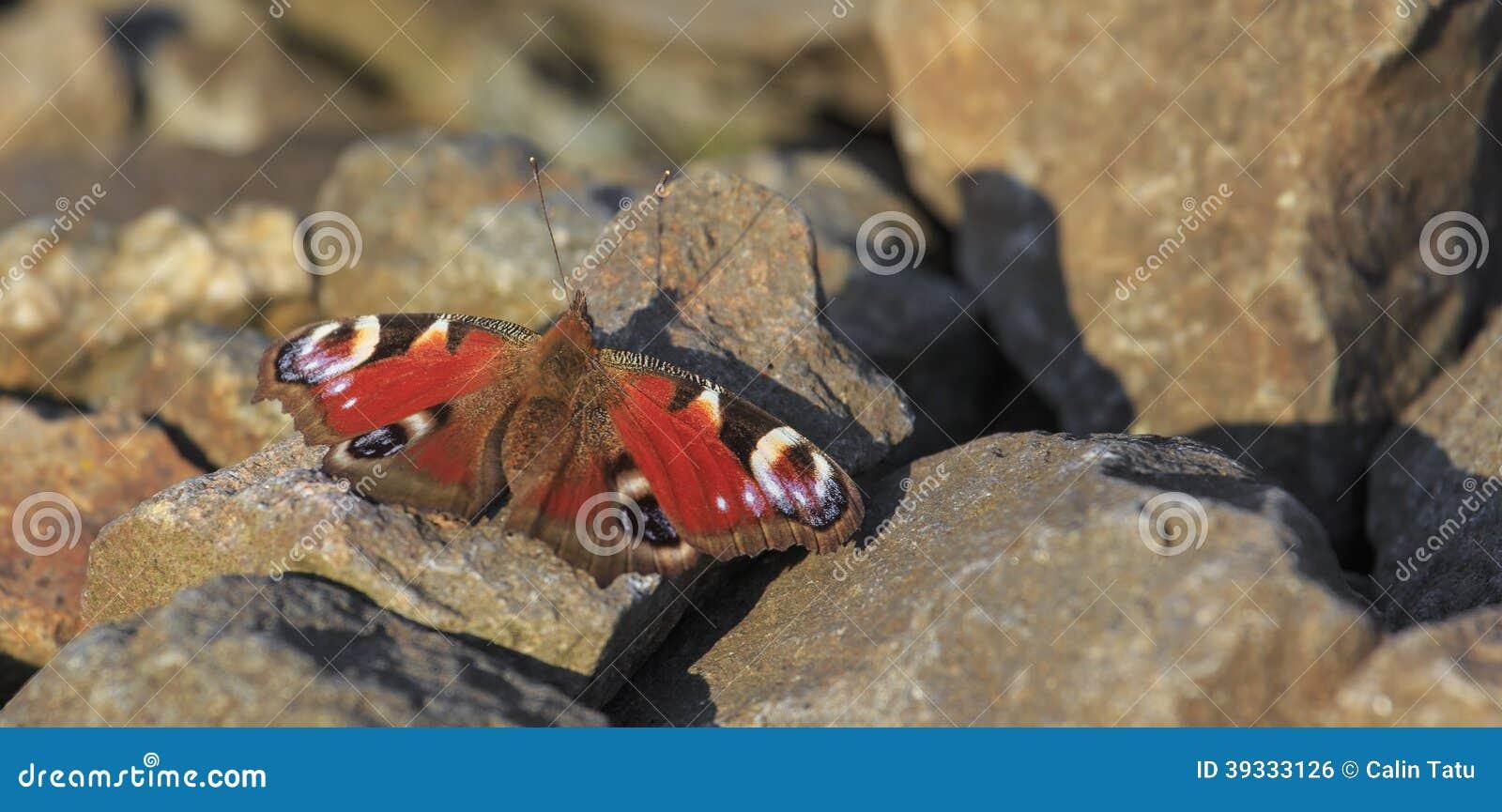 孔雀铗蝶坐岩石