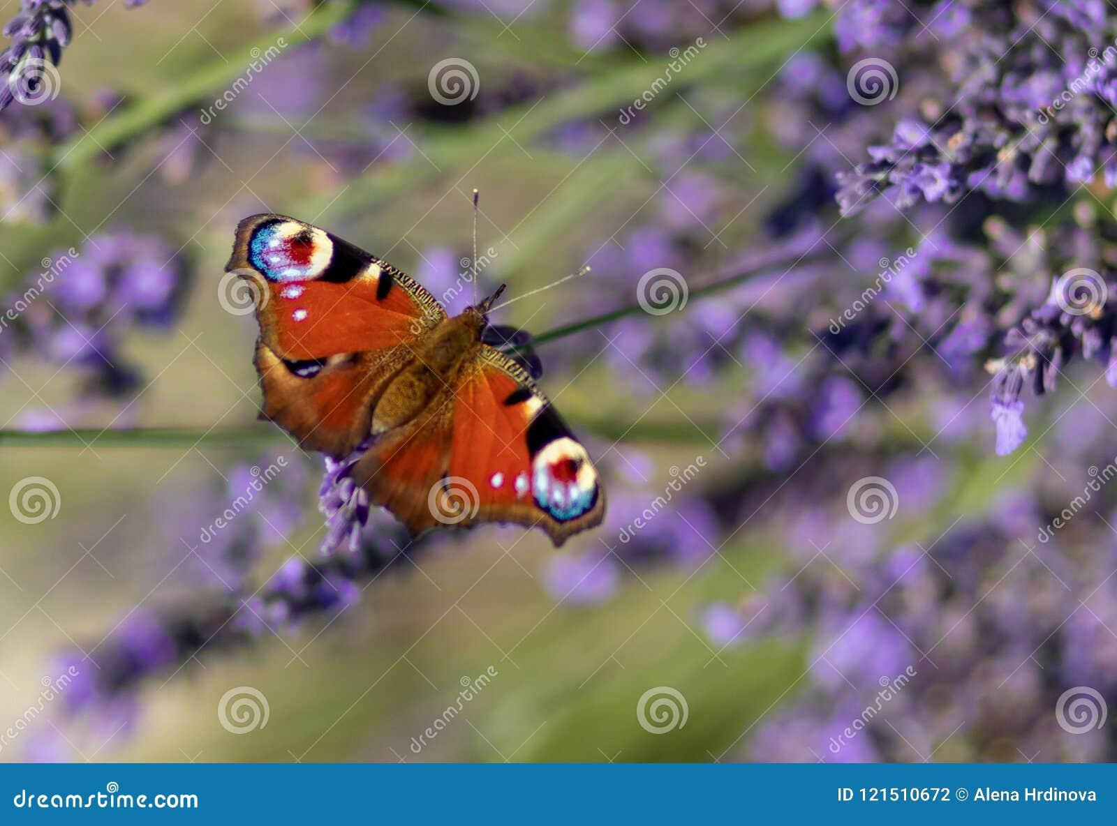 孔雀铗蝶坐紫罗兰色淡紫色