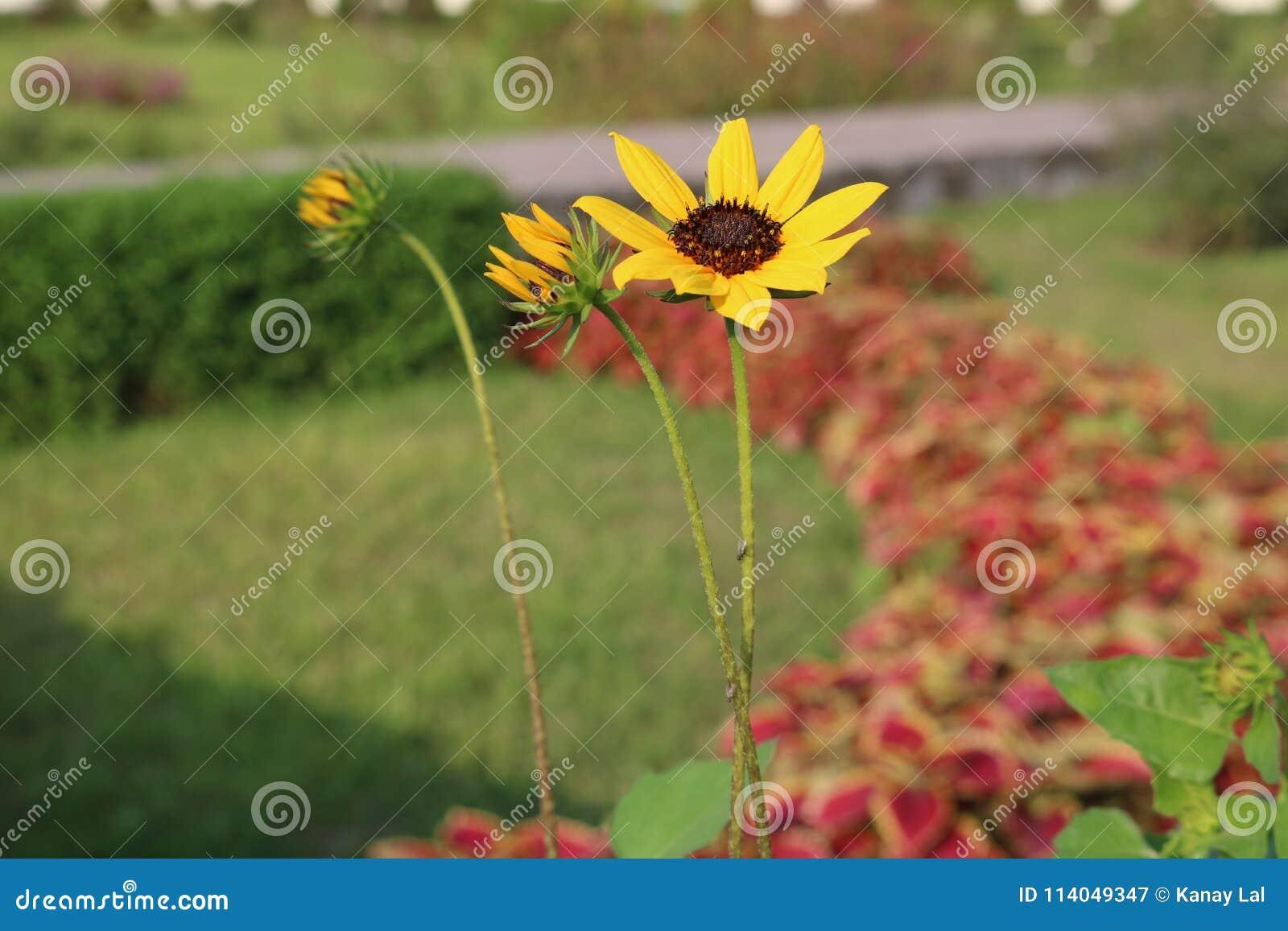 孟加拉国的庭院美丽的矮小的黄色向日葵