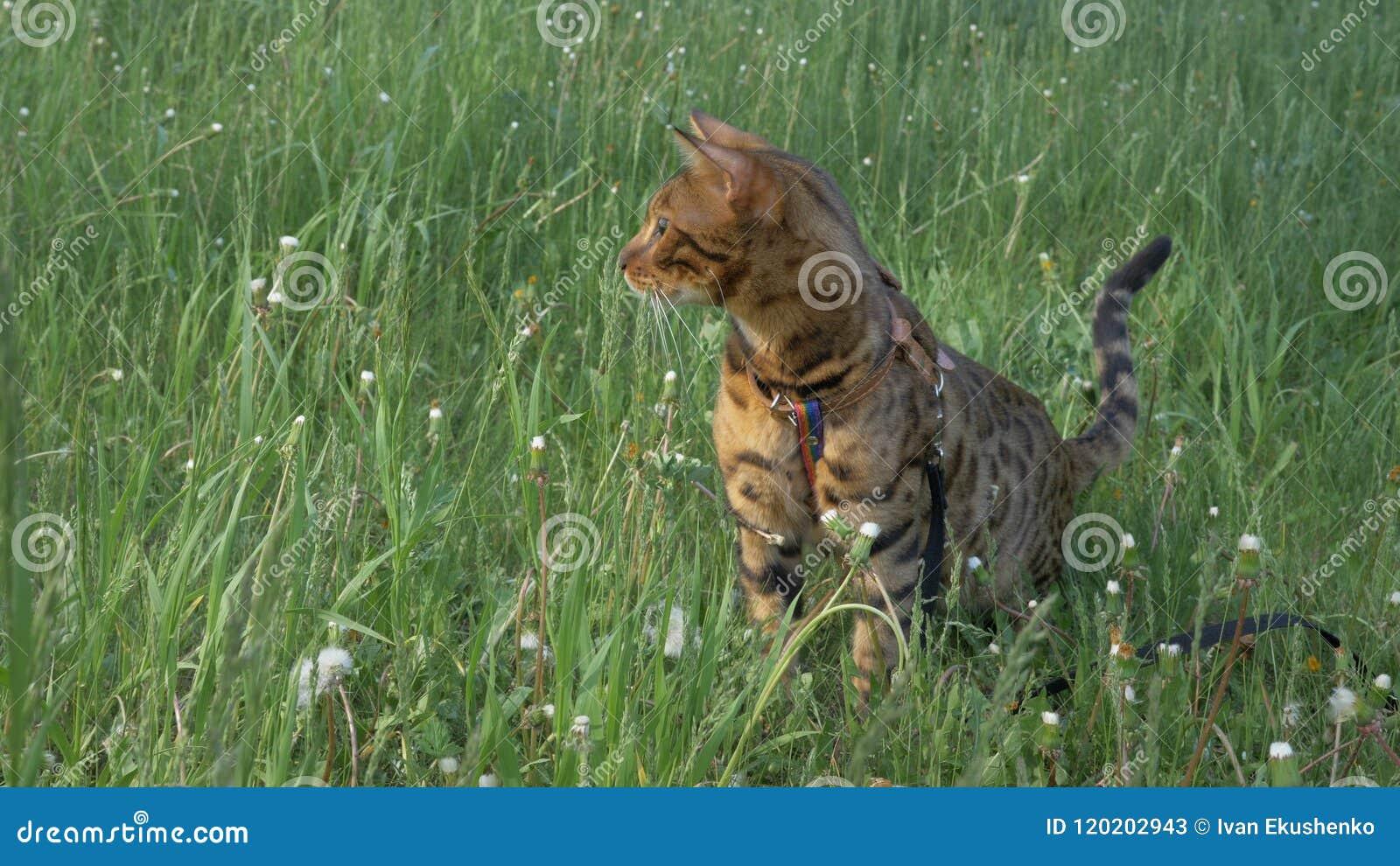 孟加拉在草的狭窄小道 他显示不同的情感