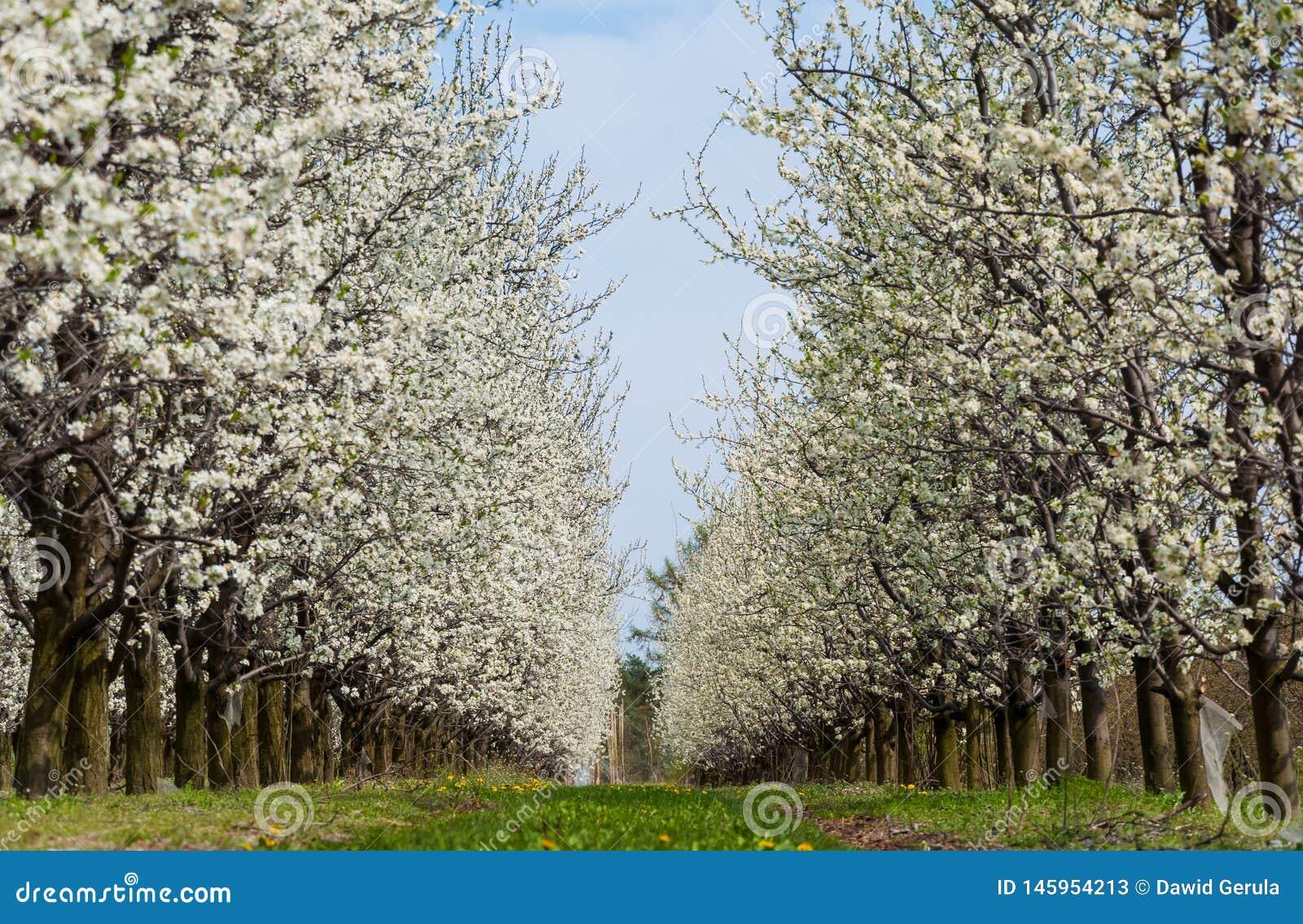 季节性春天白色李子花开花 李子果树园开花在波兰
