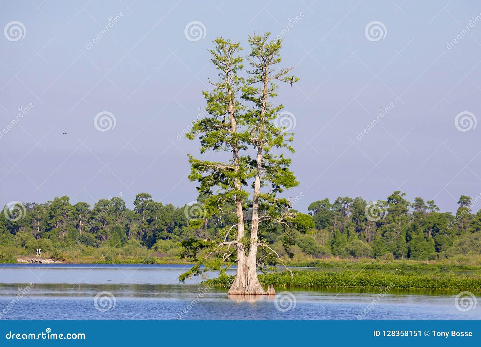 孤立柏树在湖