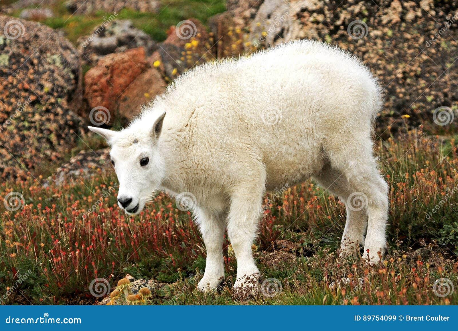 婴孩在Mt.伊万斯的石山羊 伊万斯