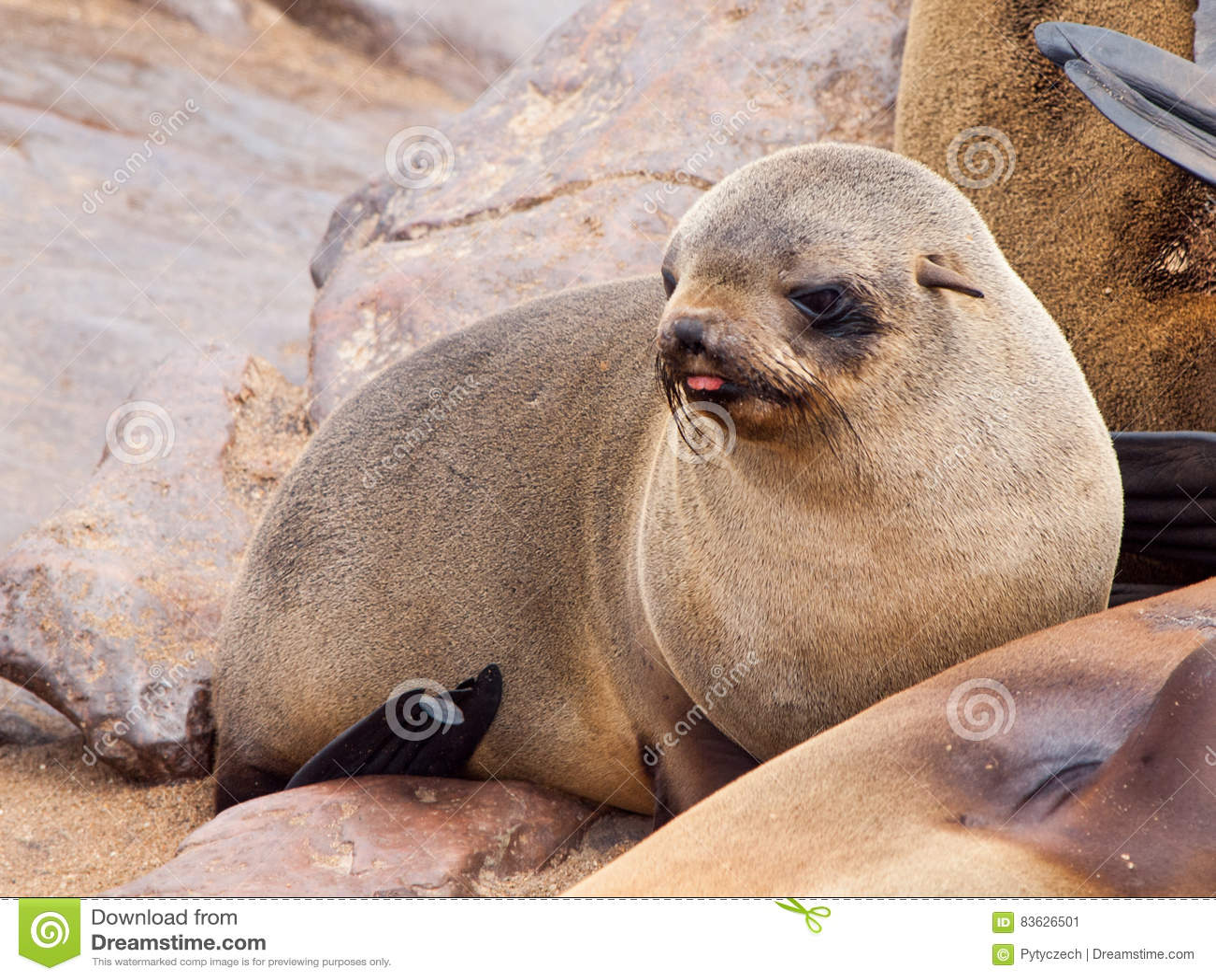 婴孩棕色海狗, Arctocephalus pusillus,说谎在岩石,海角发怒殖民地,最基本的海岸,纳米比亚,非洲