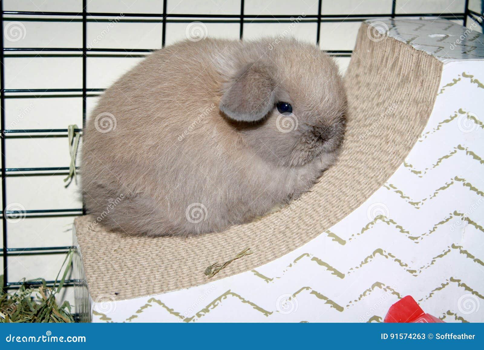 婴孩荷兰Lop小兔蓝色侵权行为颜色