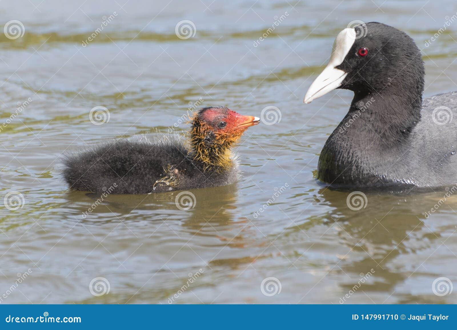 它的南安普敦共同性的父母哺养的老傻瓜小鸡