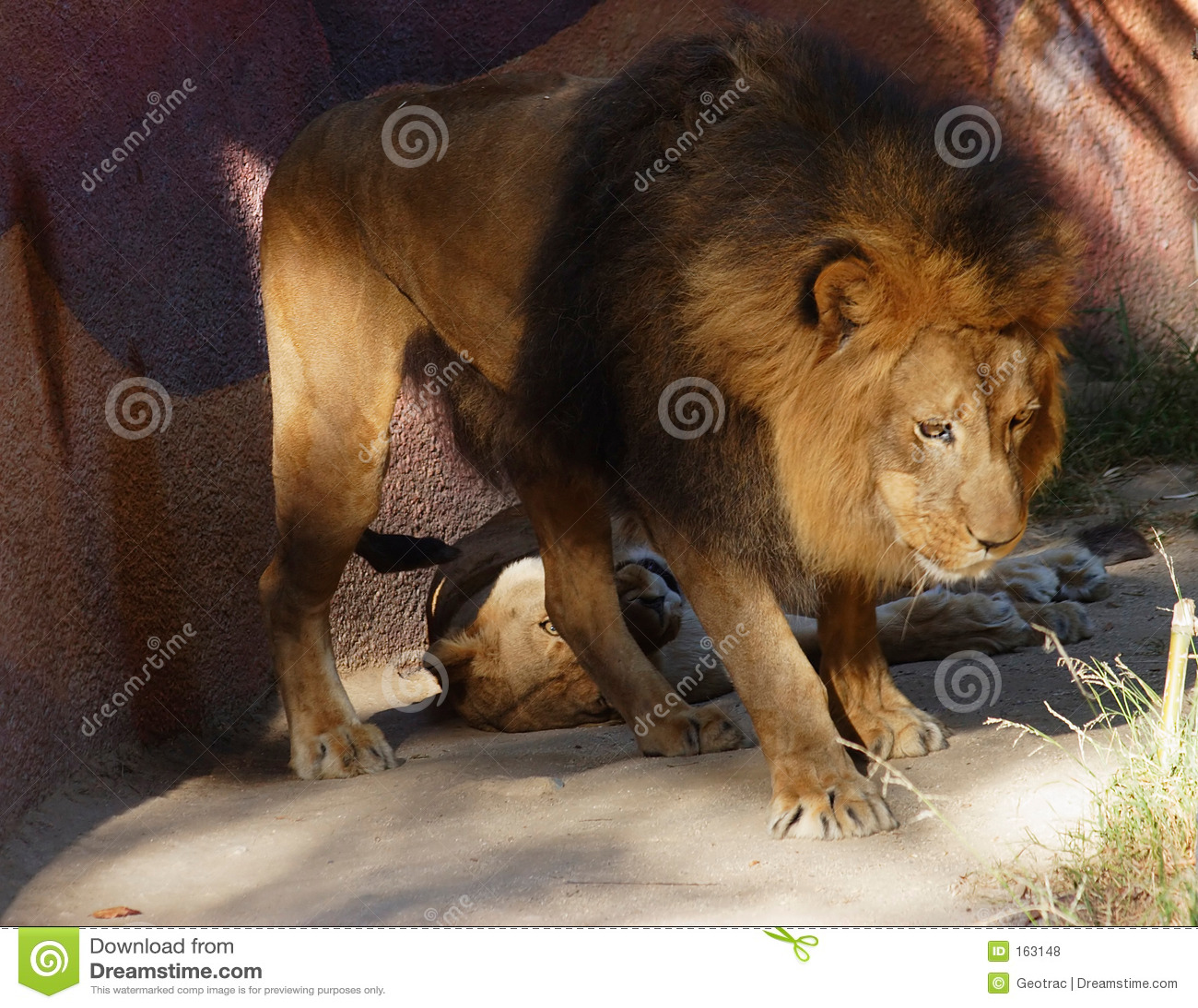 守卫他的狮子男的女性