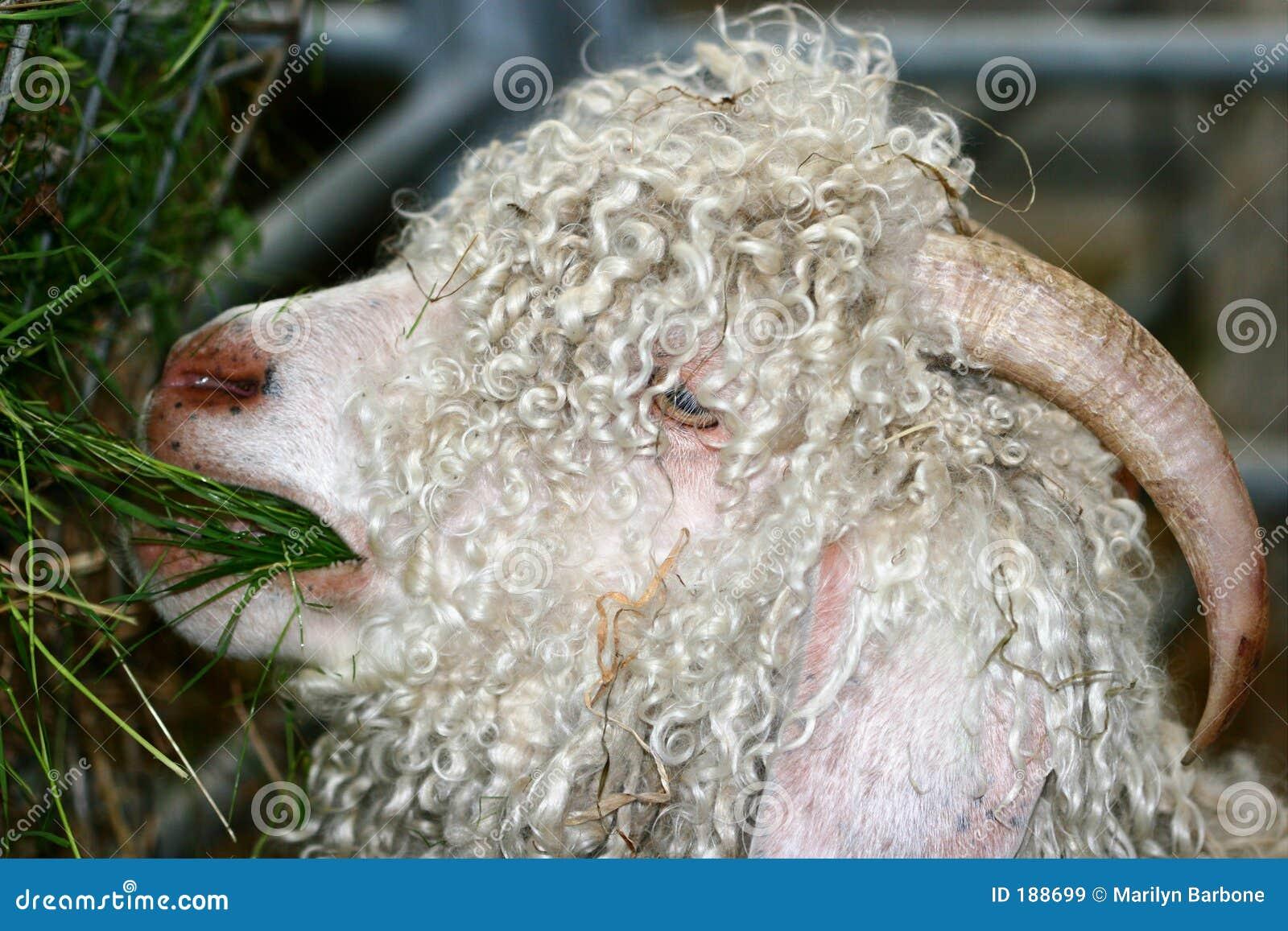 安哥拉猫山羊