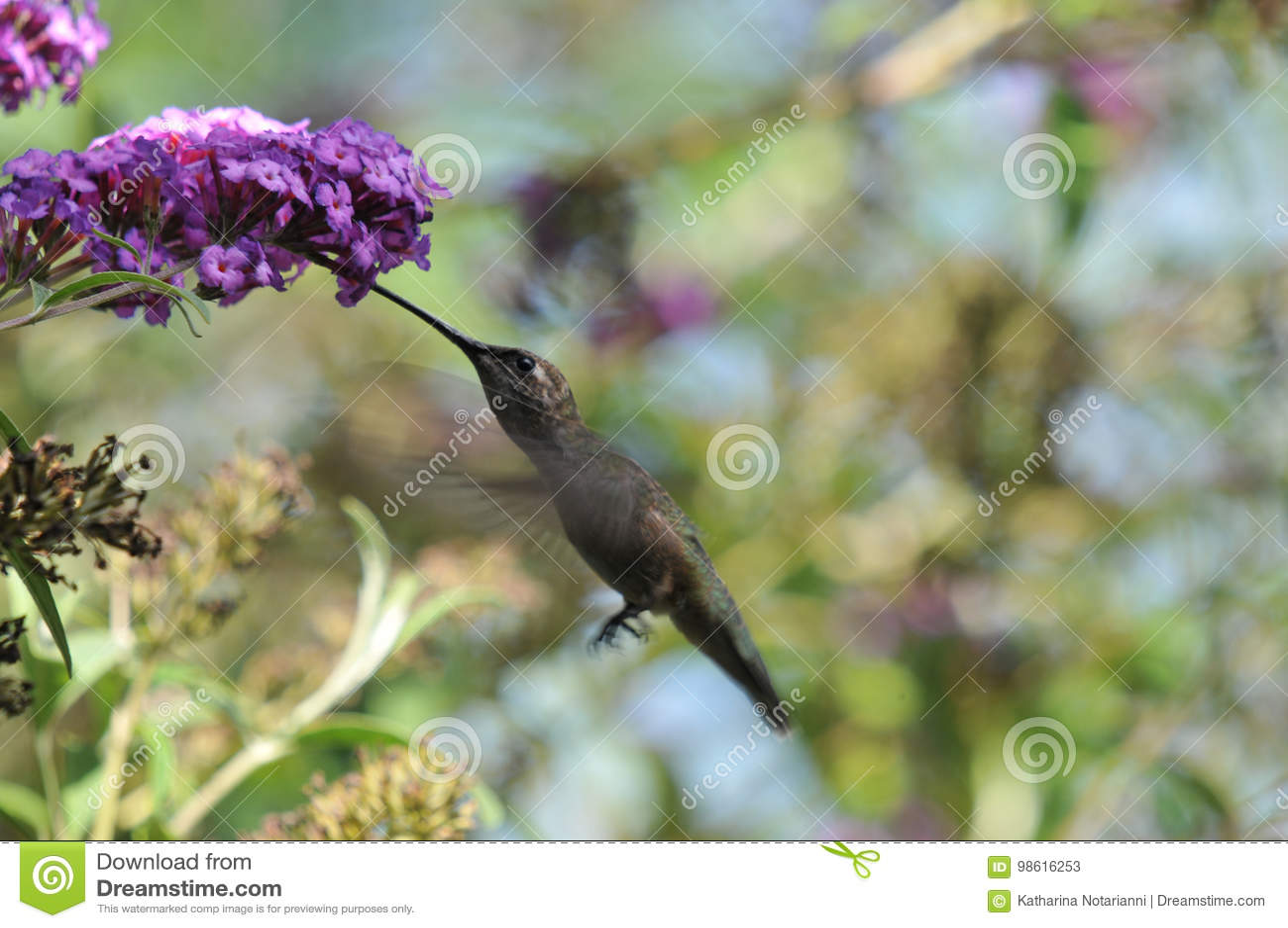 安娜` s蜂鸟Calypte安娜飞行,当喝从蝴蝶灌木丛时的花蜜