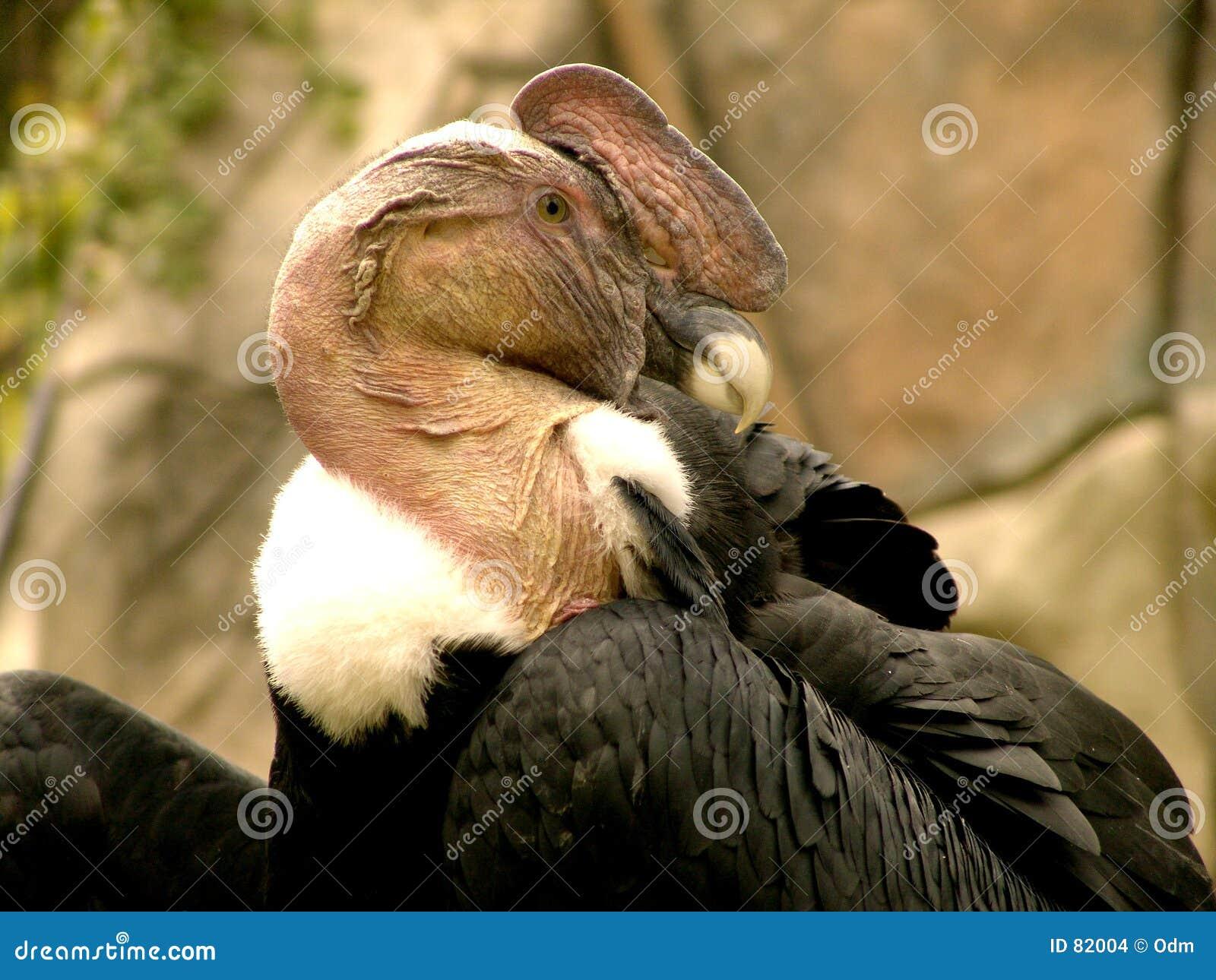 安第斯秃鹰