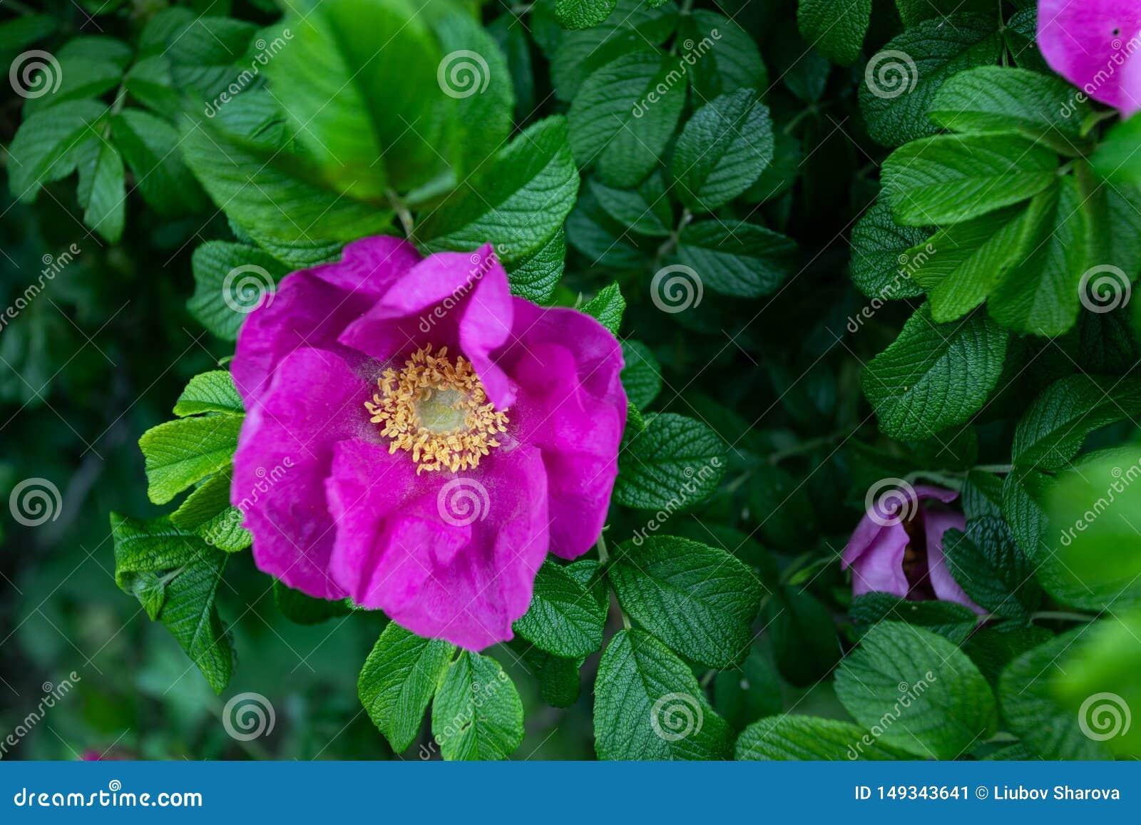 宏观照片自然开花的dogrose 桃红色野玫瑰果芽花背景纹理  一条开花的灌木植物狗的图象上升了